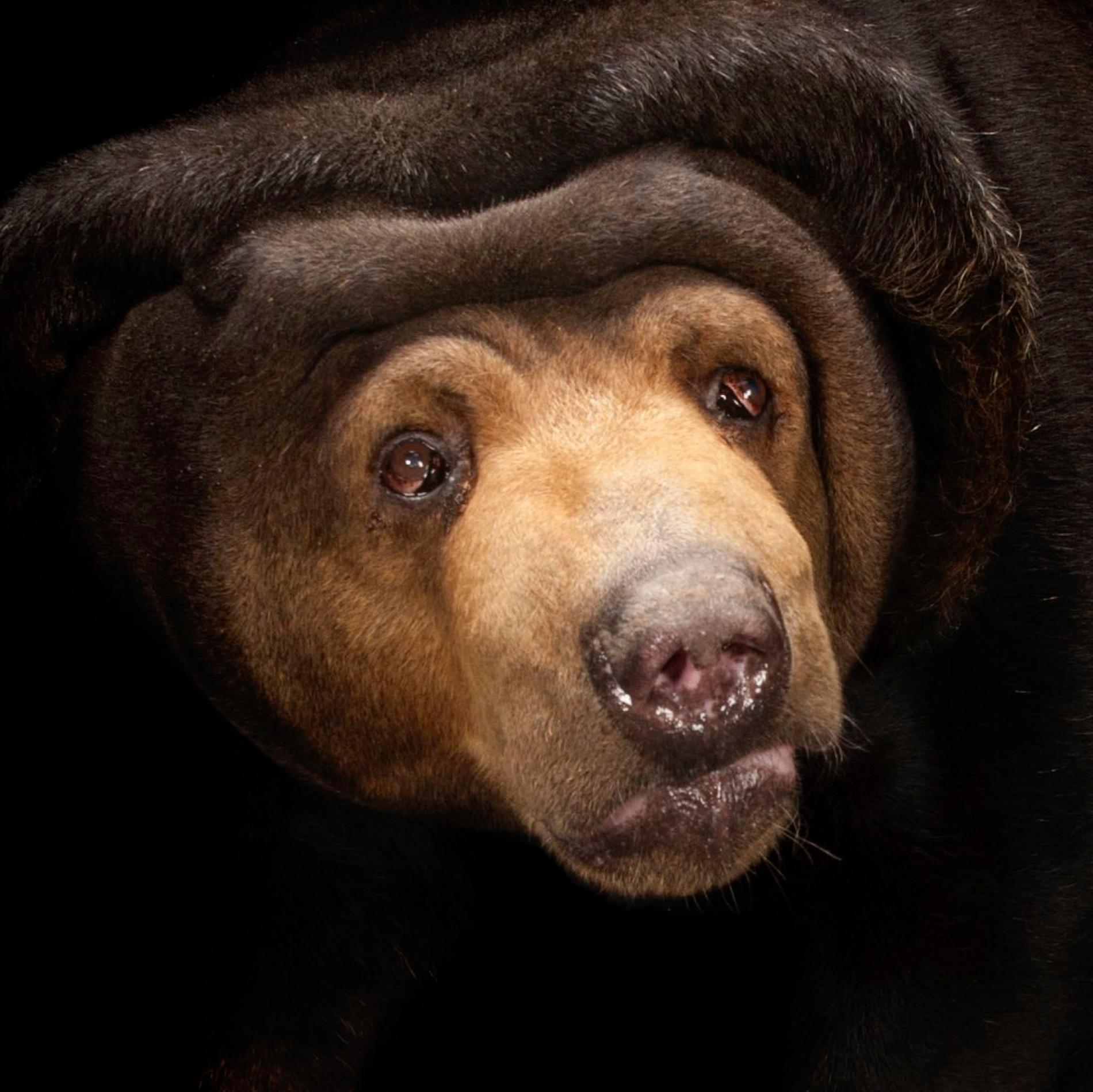 Sun Bear | National Geographic