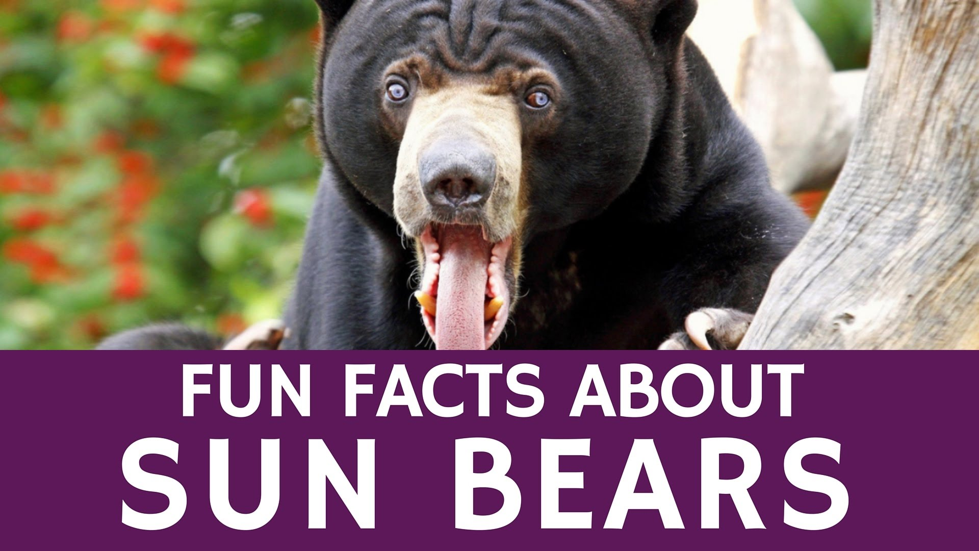 Fun Facts about Malayan Sun Bear – Educational Video for Kids - YouTube