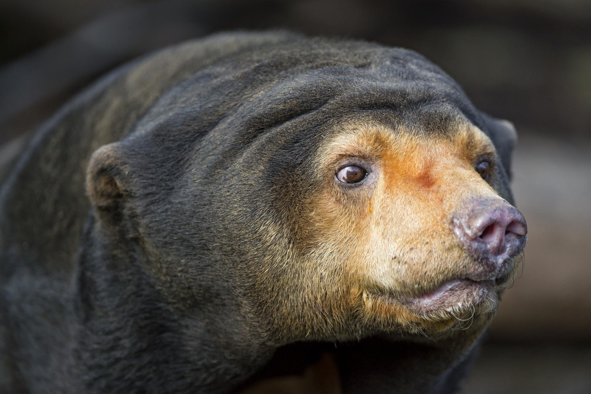 Picture 7 of 9 - Sun Bear (Helarctos Malayanus) Pictures & Images ...