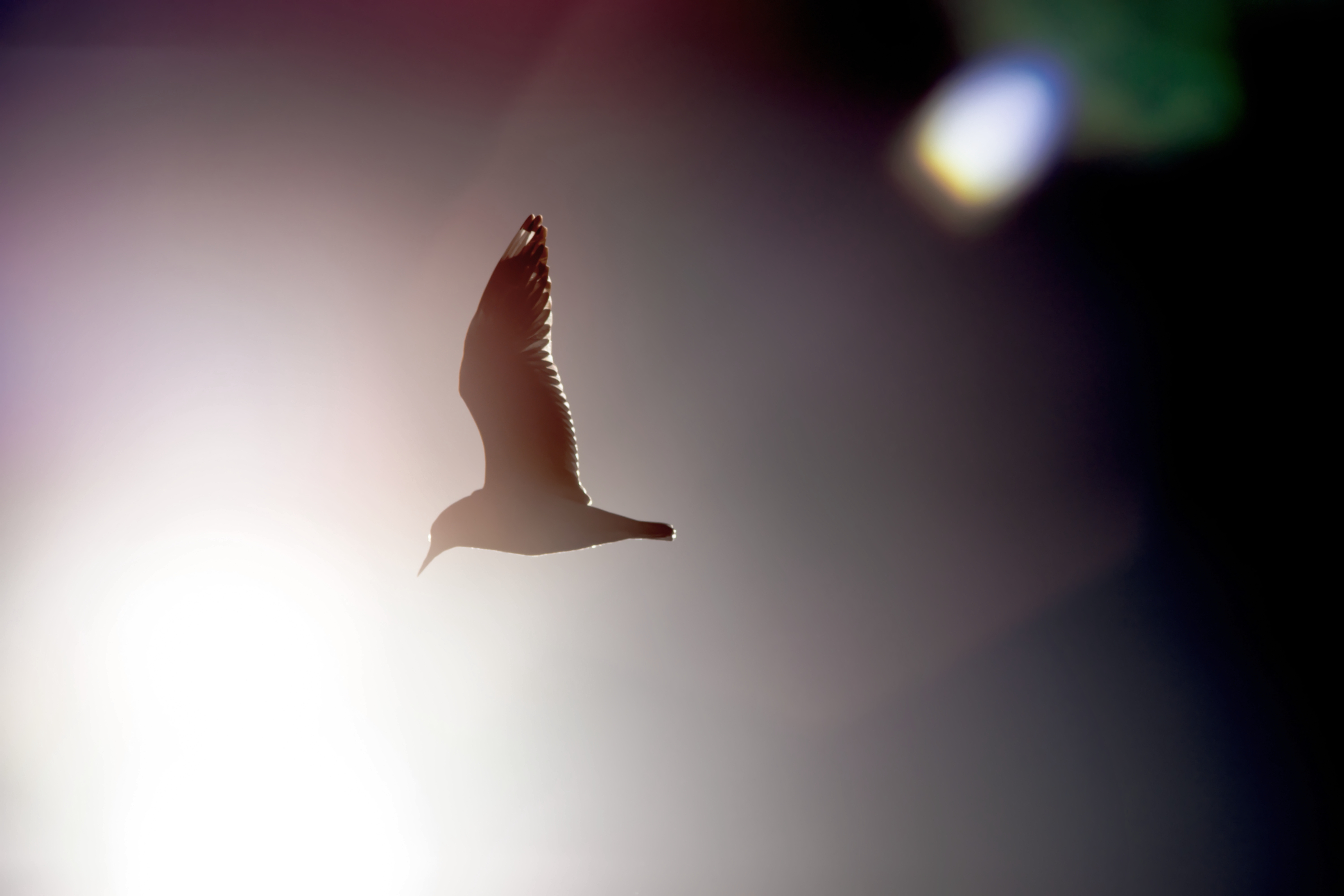 File:Seagull flying into sun with lens flare.jpg - Wikimedia Commons