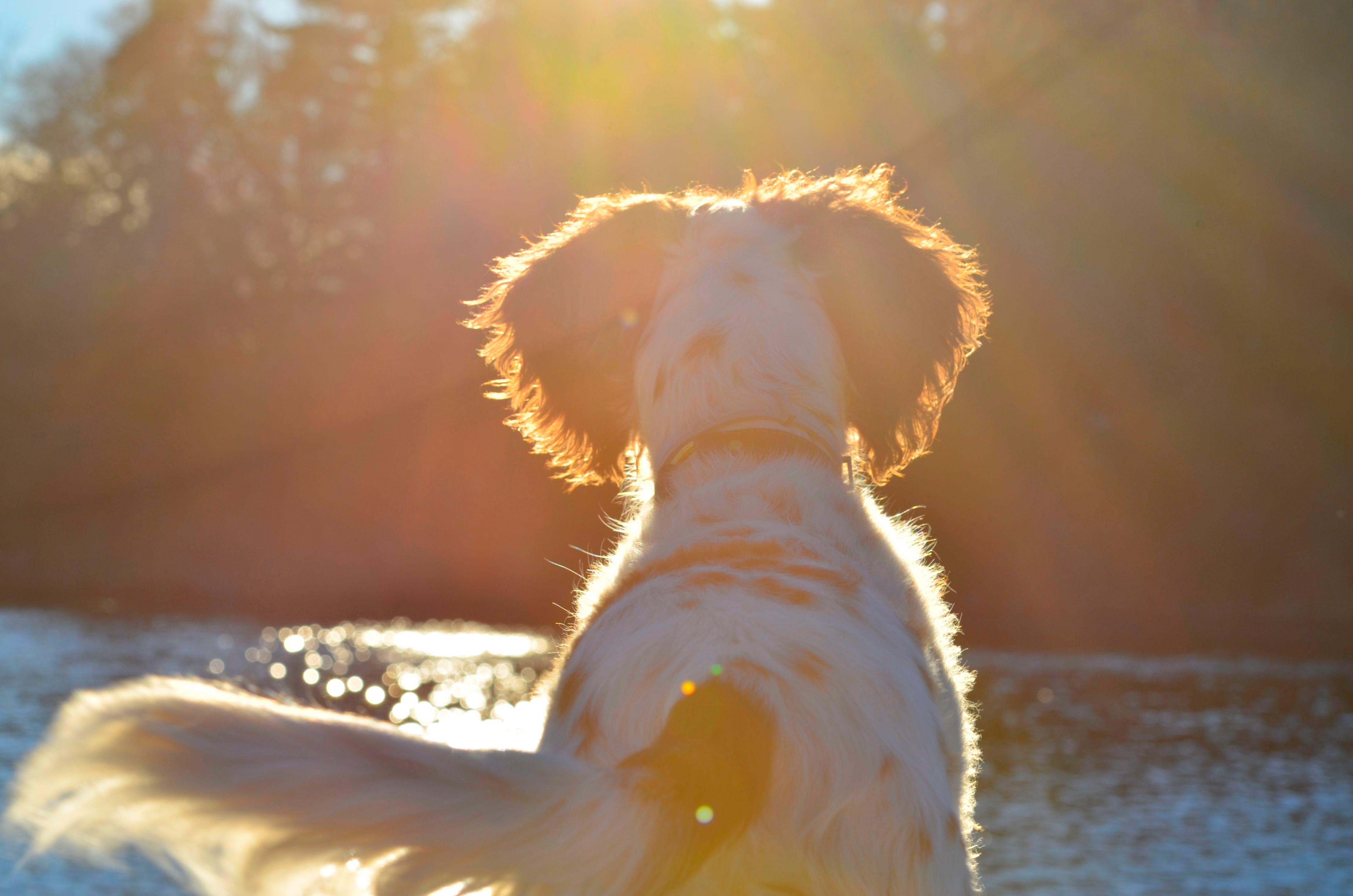 Free stock photo of bird dog, dog, english setter