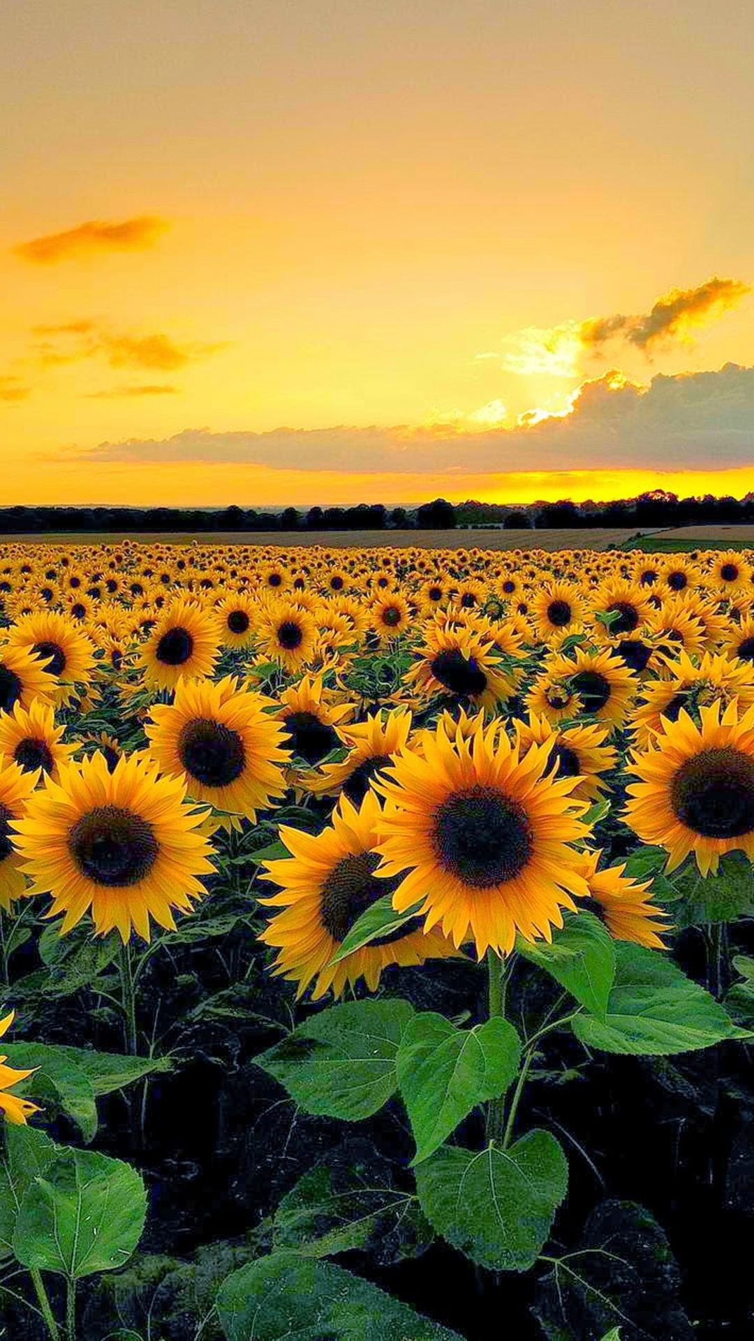 Sunset View From Sunflower Field | Craft Ideas | Pinterest ...