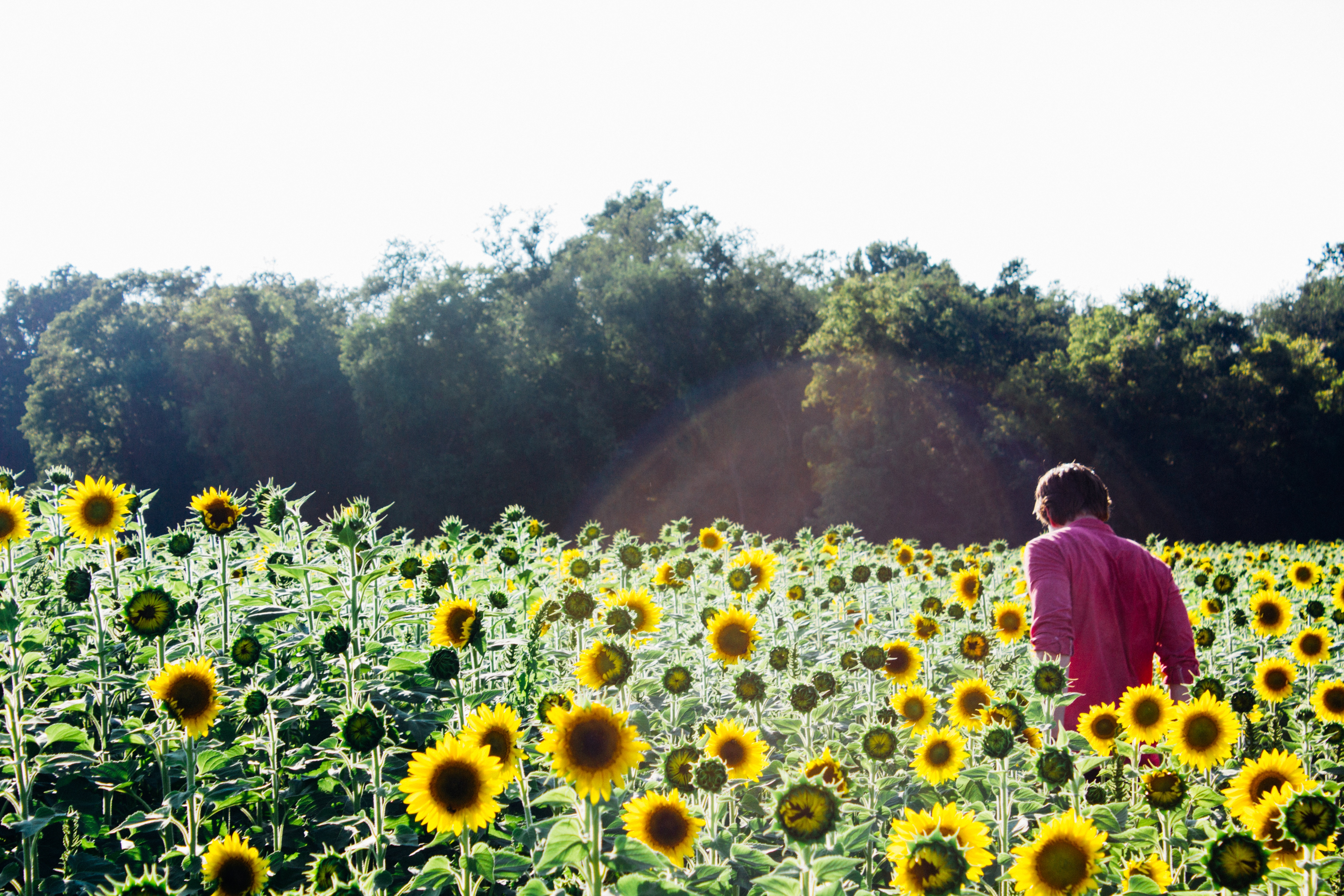 Sun Flowers, Activity, Field, Flowers, Human, HQ Photo