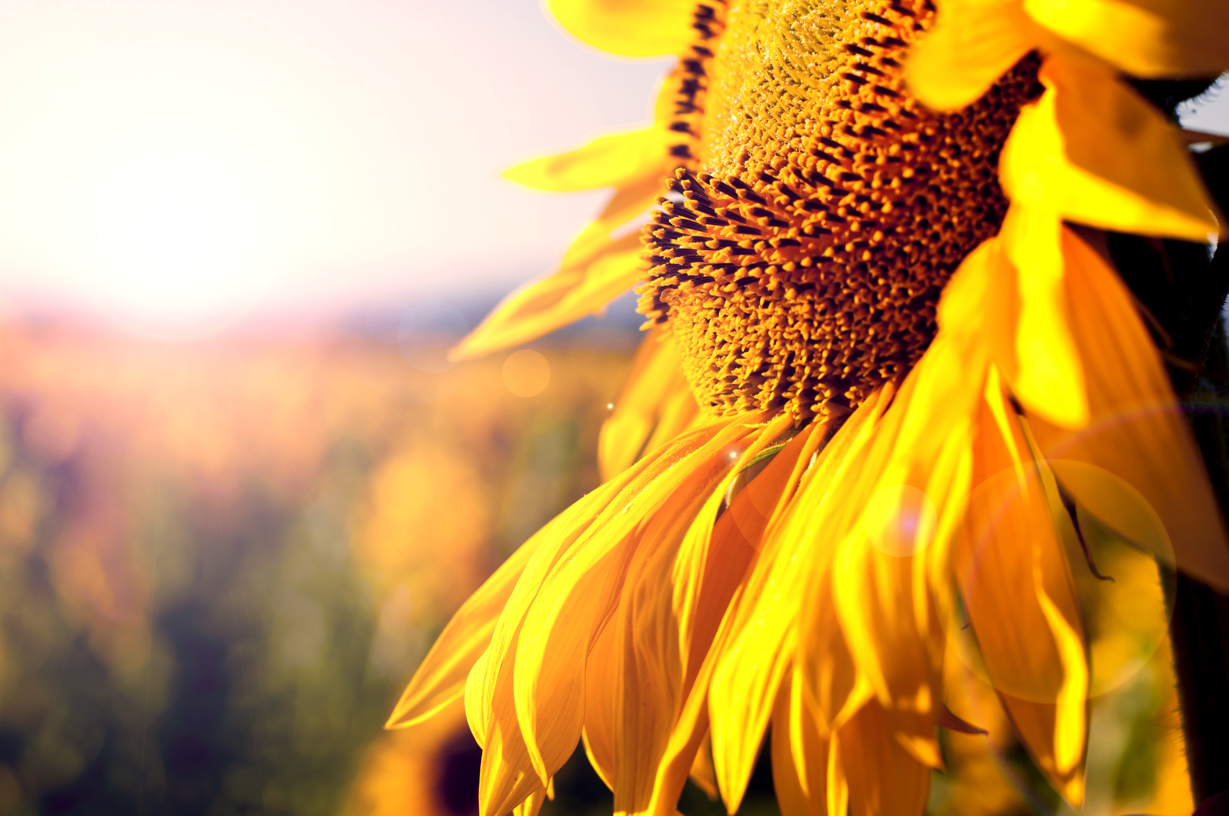 Sun.Flowers | Buy Fresh Sunflowers | Sunflower Delivery