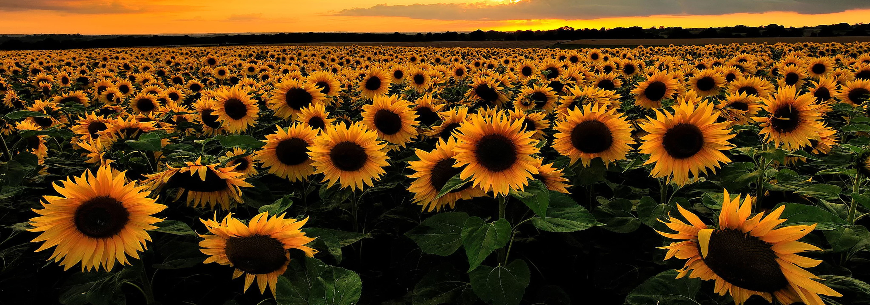 Sunflowers - Holmes Seed Company