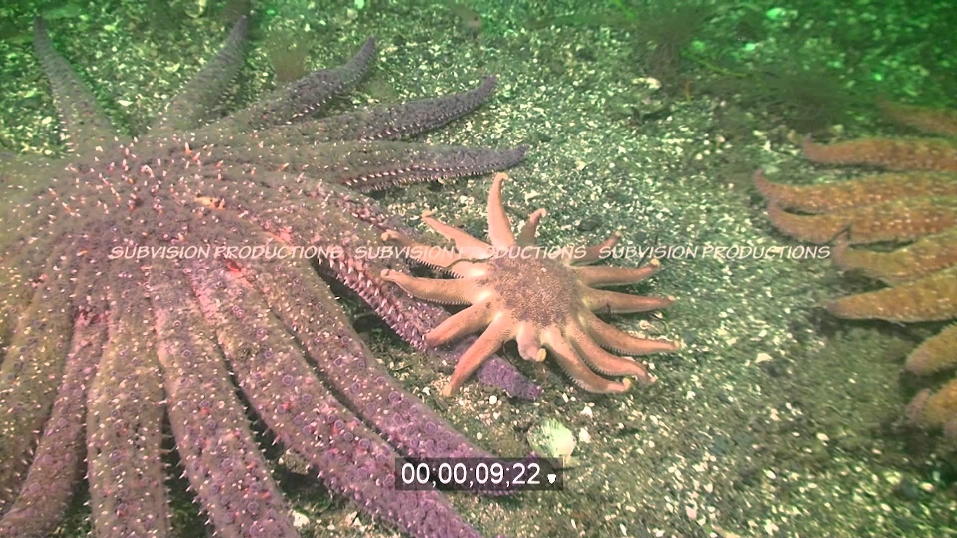 Sun starfish photo