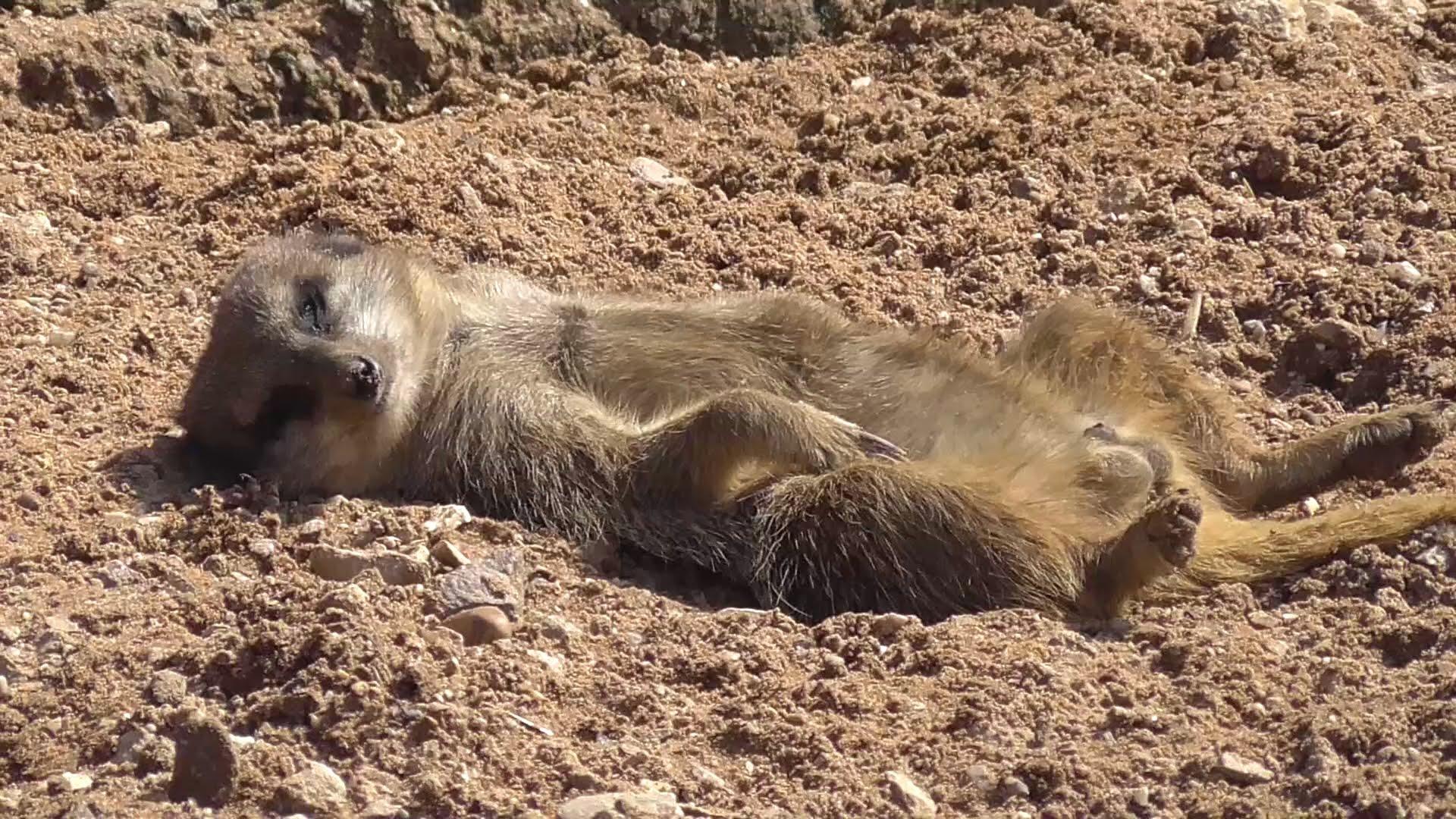 Sunbathing meerkats photo