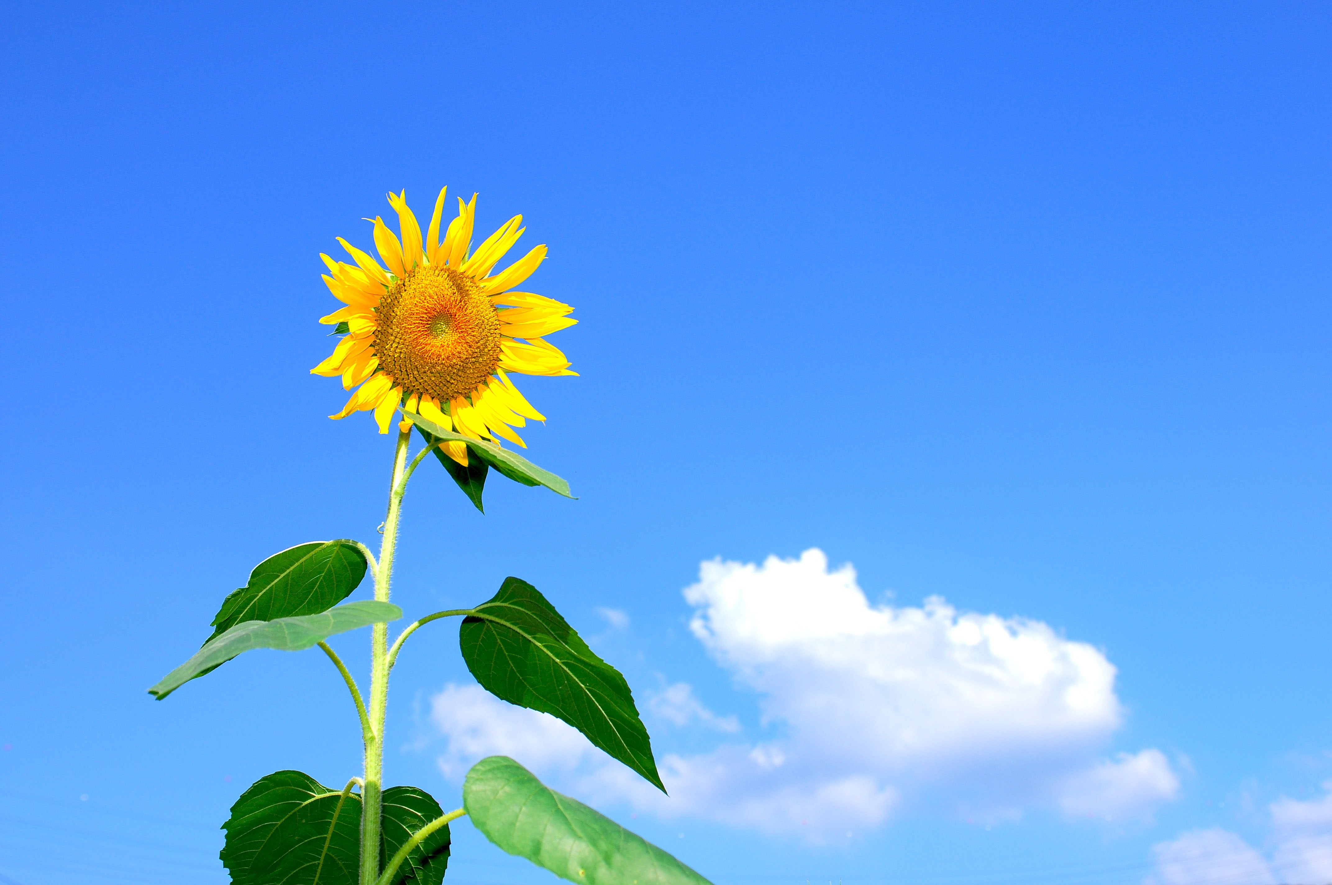 Sunflower blooming during daytime photo