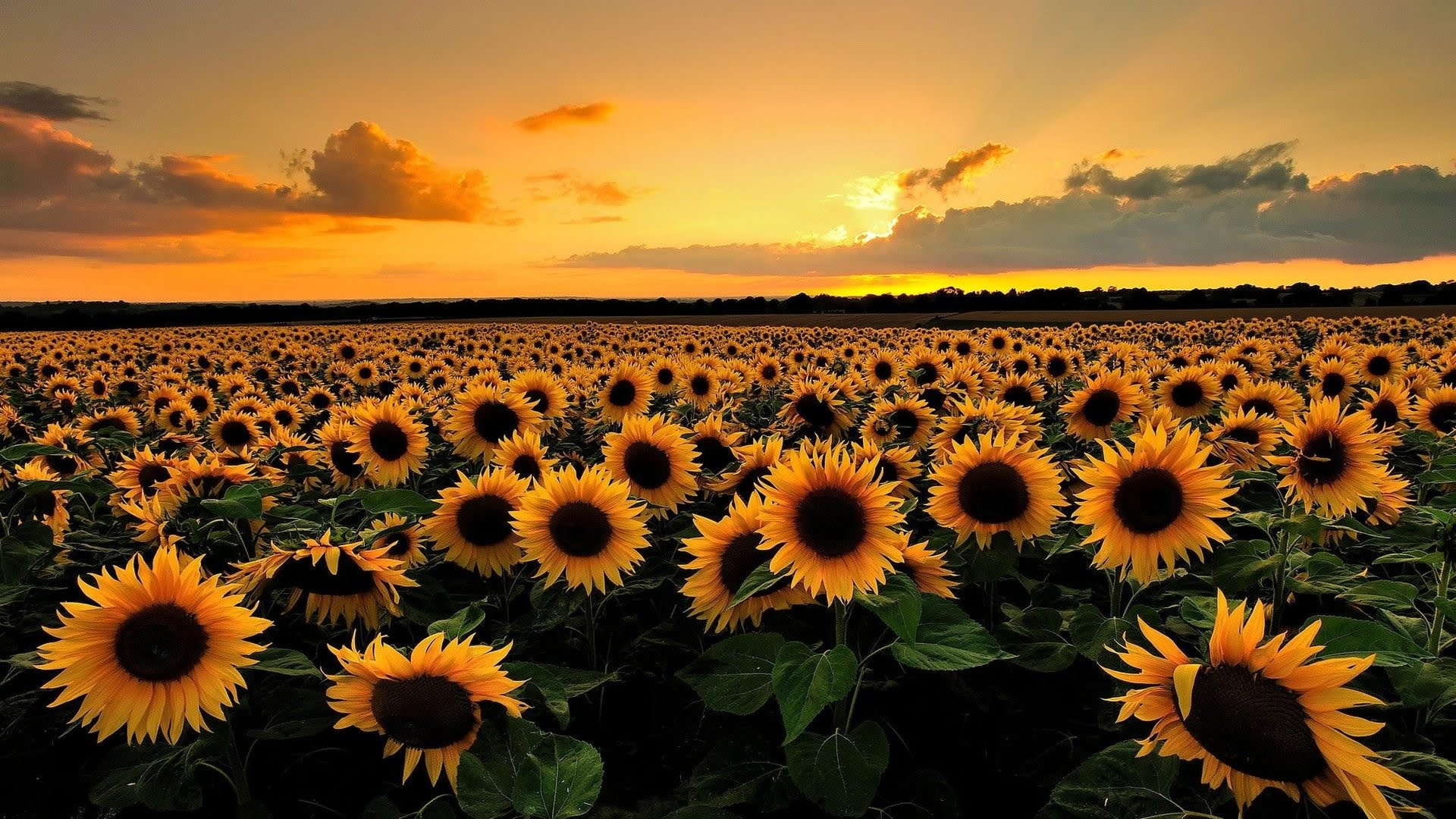 The largest sunflower field - Tuscany (Italy) - YouTube