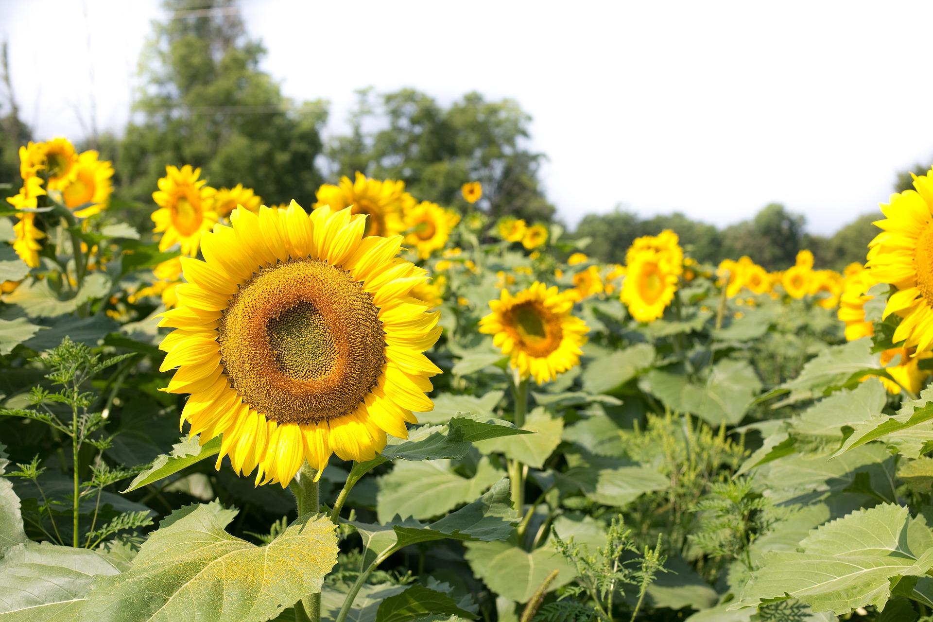 Free Photo Sunflower Field Blooming Field Flower Free Download Jooinn
