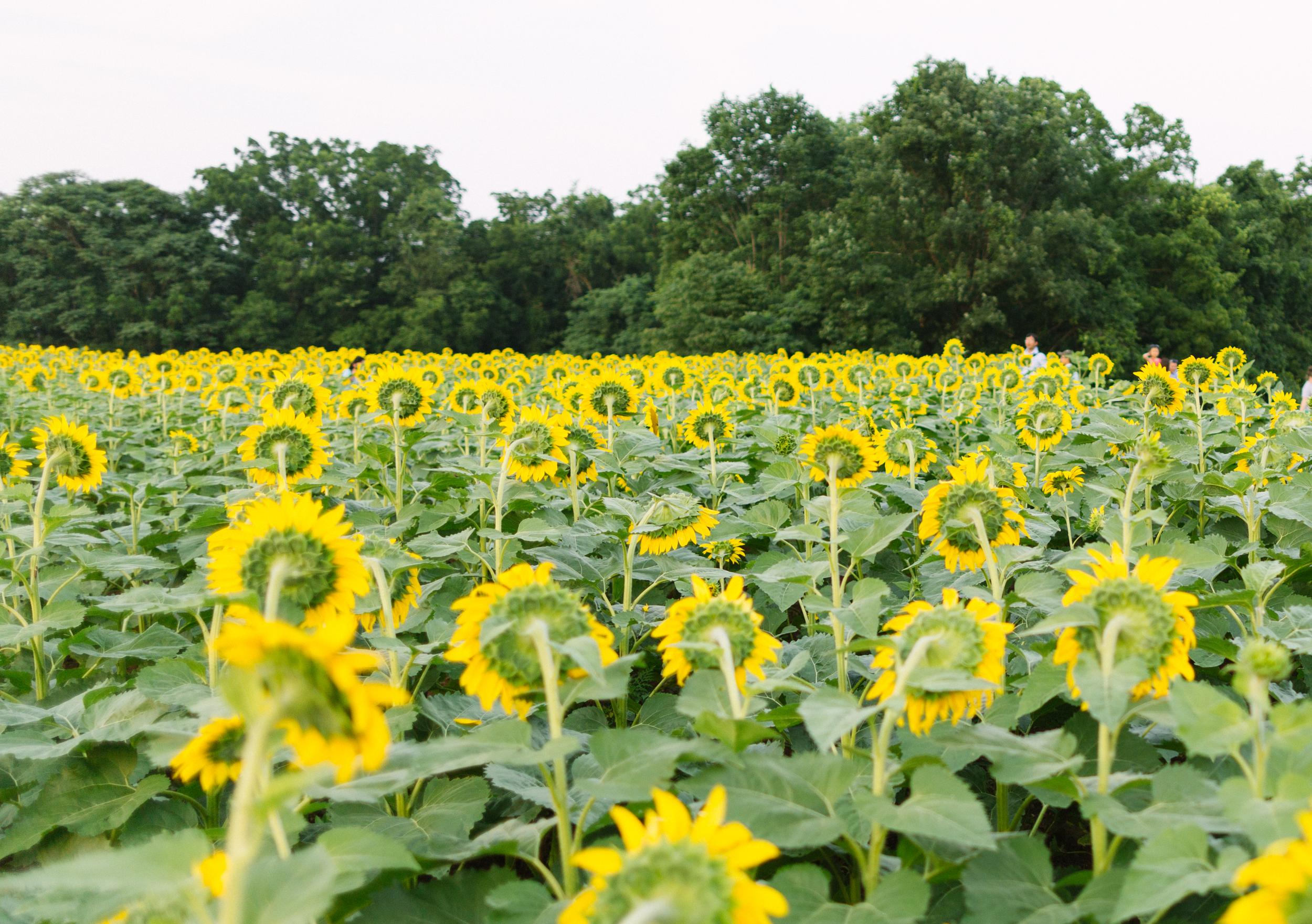 Sunflower Fields at McKee-Beshers in Maryland [Photo Guide]
