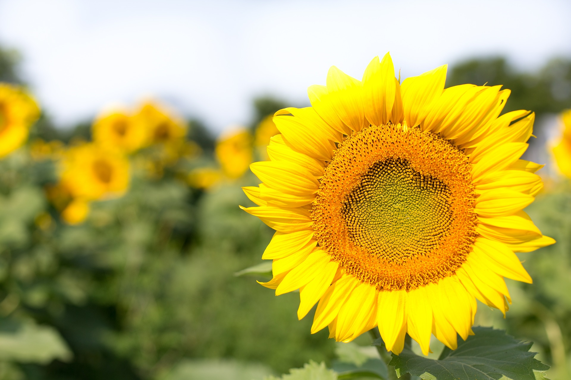 Sunflower Field, Seed, Nature, Sun, Sunflower, HQ Photo
