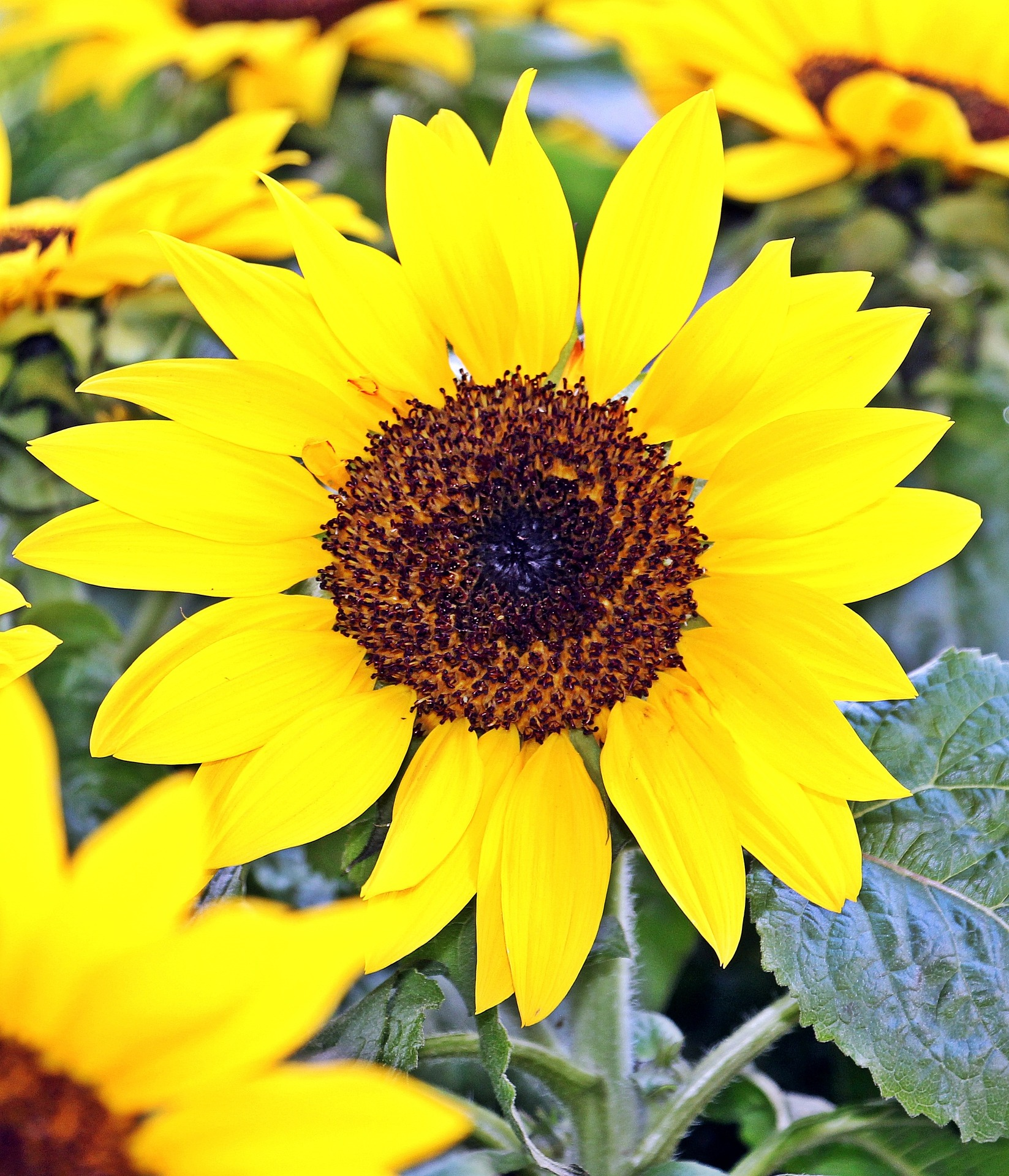Sunflower Field, Seed, Nature, Sun, Macro, HQ Photo