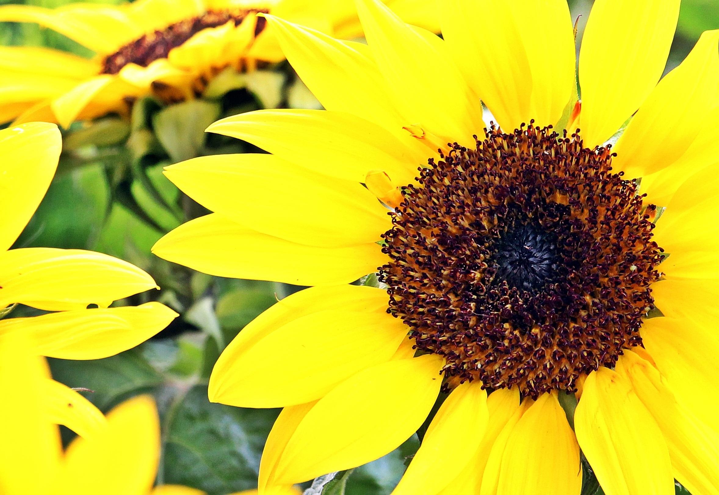 Sunflower Field, Seed, Nature, Sun, Macro, HQ Photo