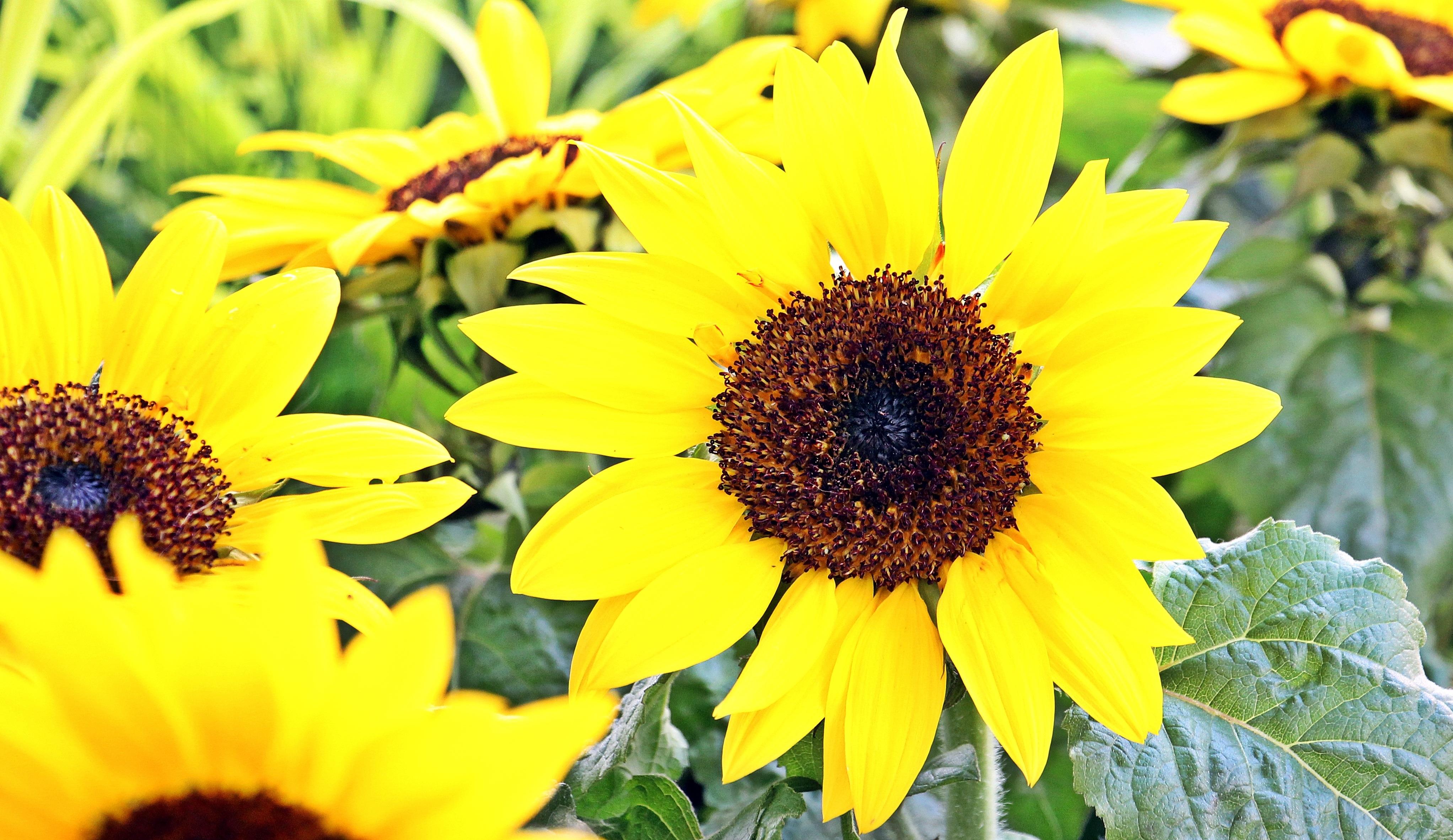 Sunflower Field, Blooming, Field, Flower, Fragrance, HQ Photo