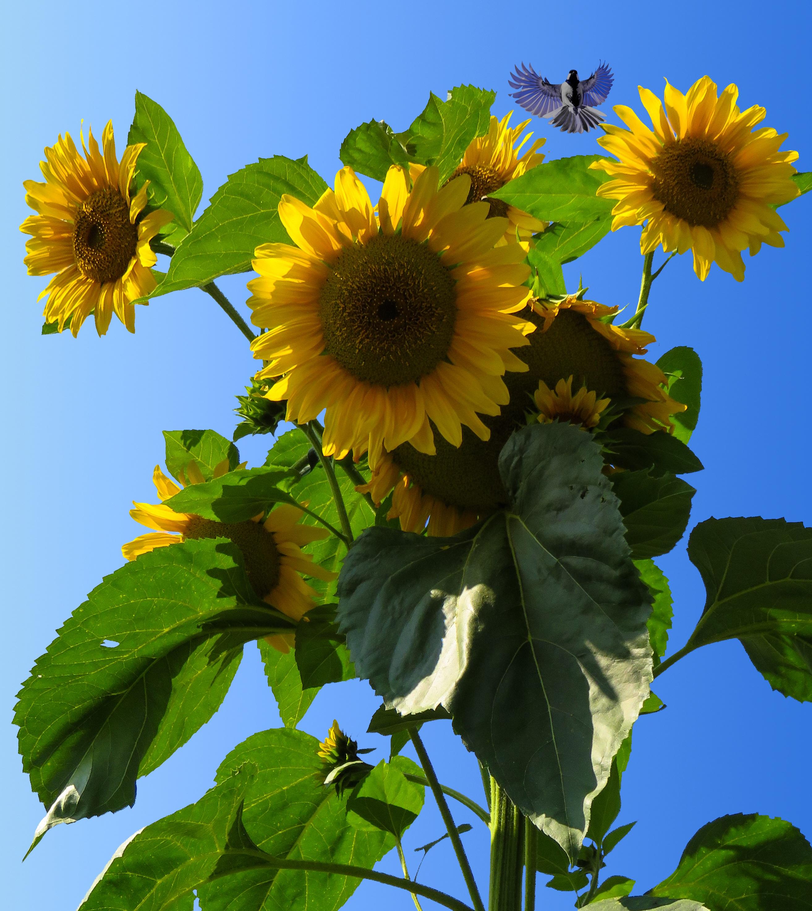 Sunflower Field, Nature, Sun, Sunflower, Garden, HQ Photo