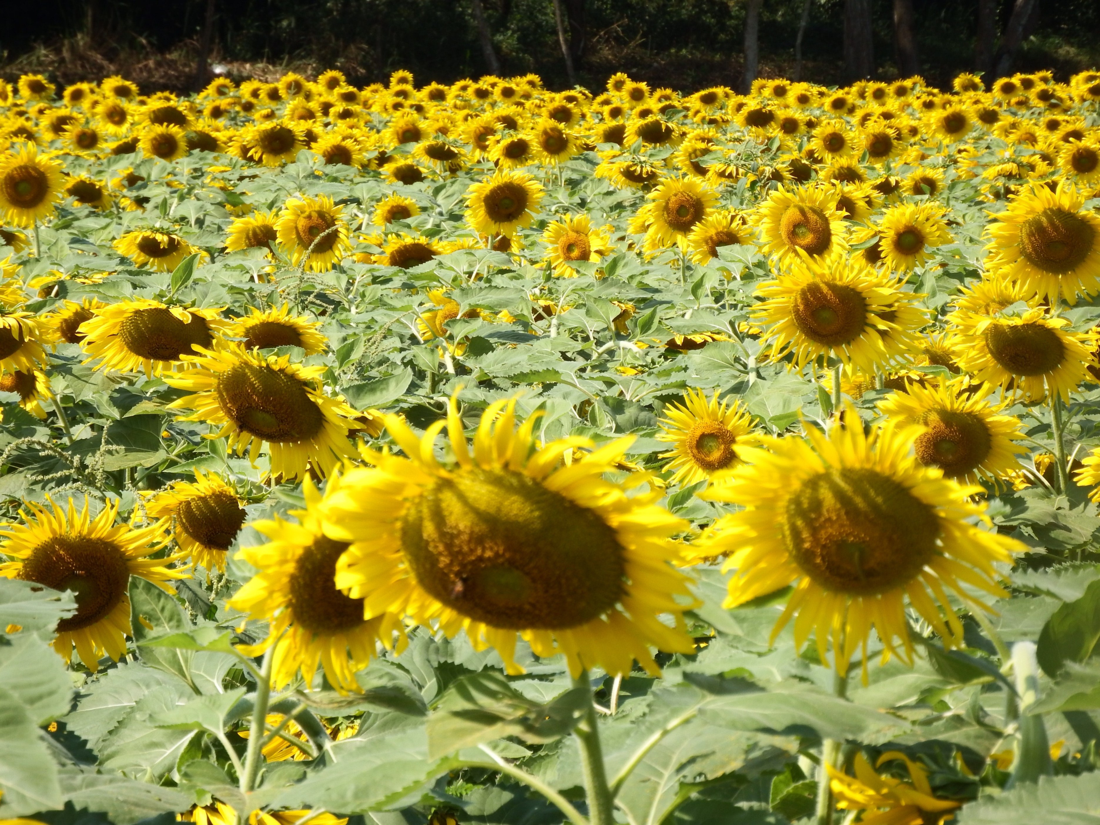 Sunflower Field, Relax, Rural, Plant, Photo, HQ Photo