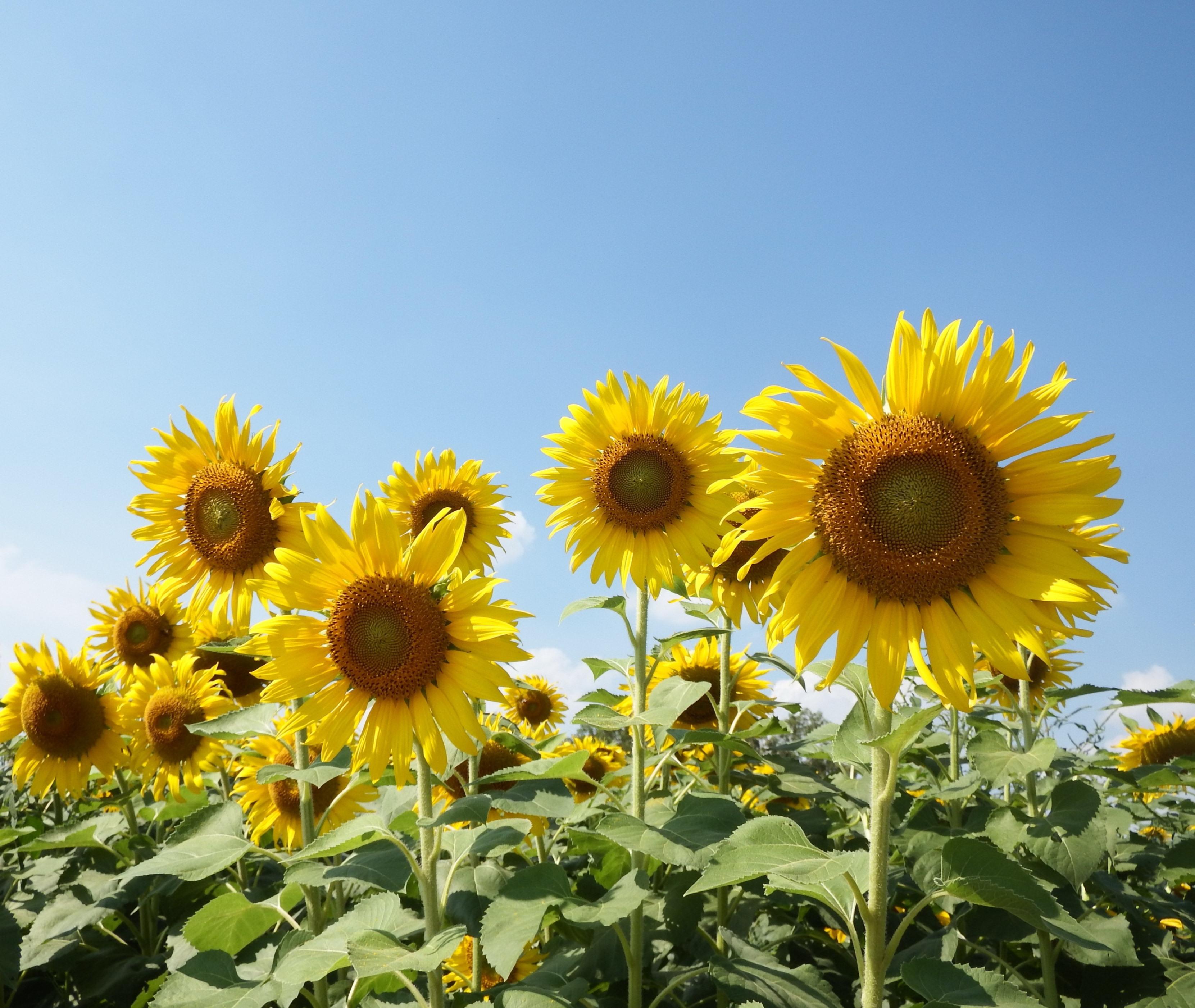 Sunflower Field, Plant, Rural, Photo, Pettles, HQ Photo