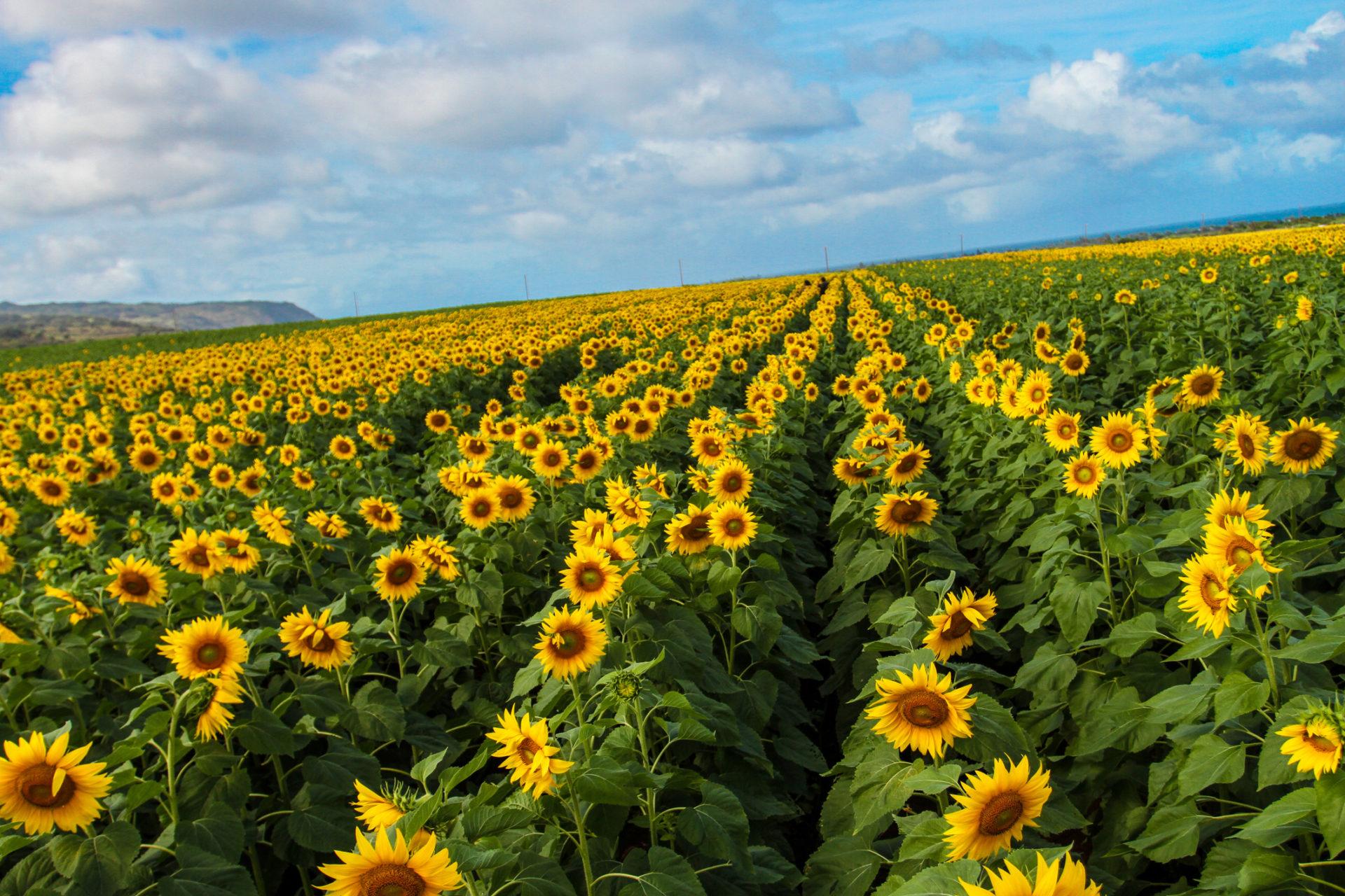 Sunflower Fields in Waialua on Oahu's North Shore - A Must See!