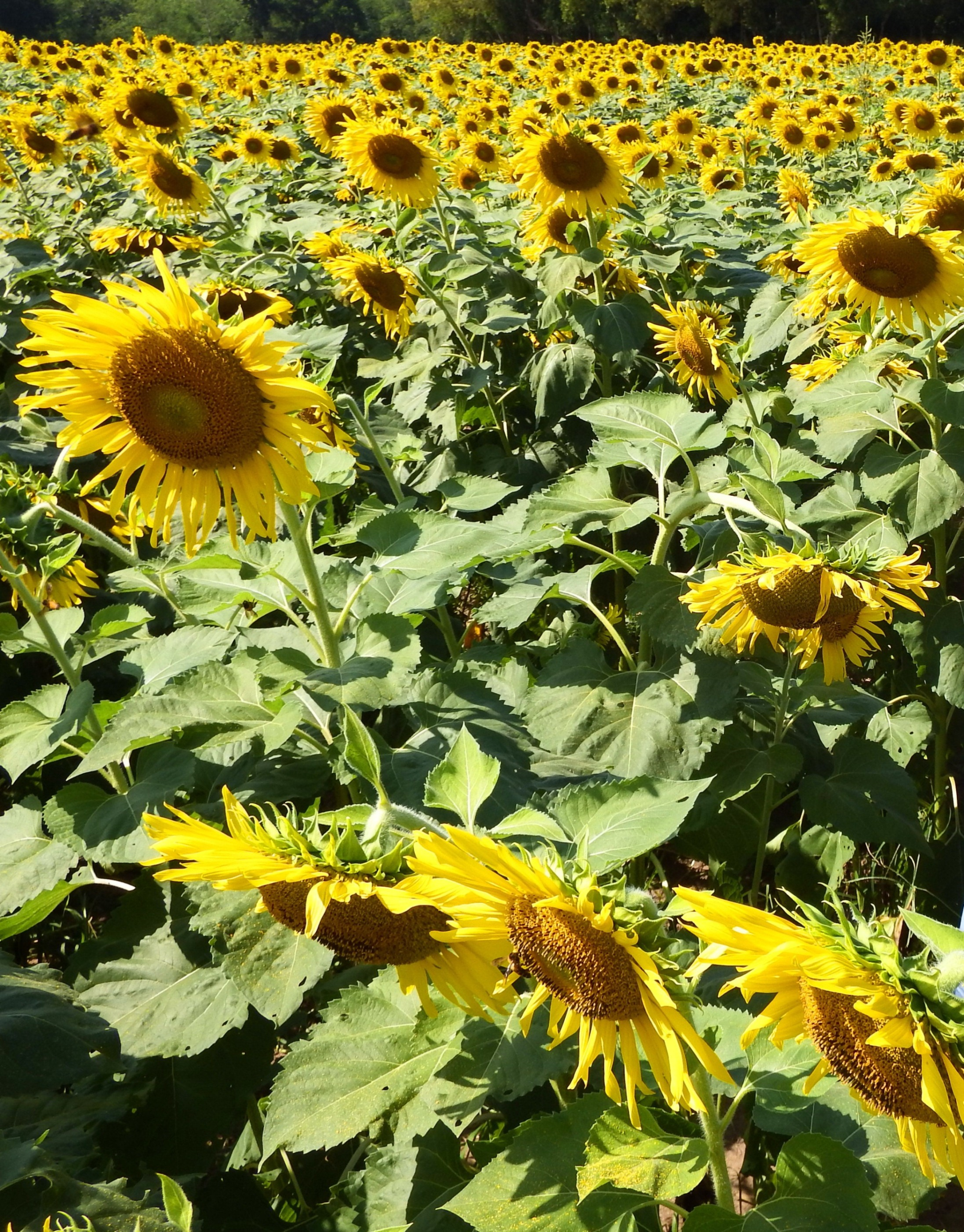 Sunflower Field, Plant, Rural, Photo, Pettles, HQ Photo