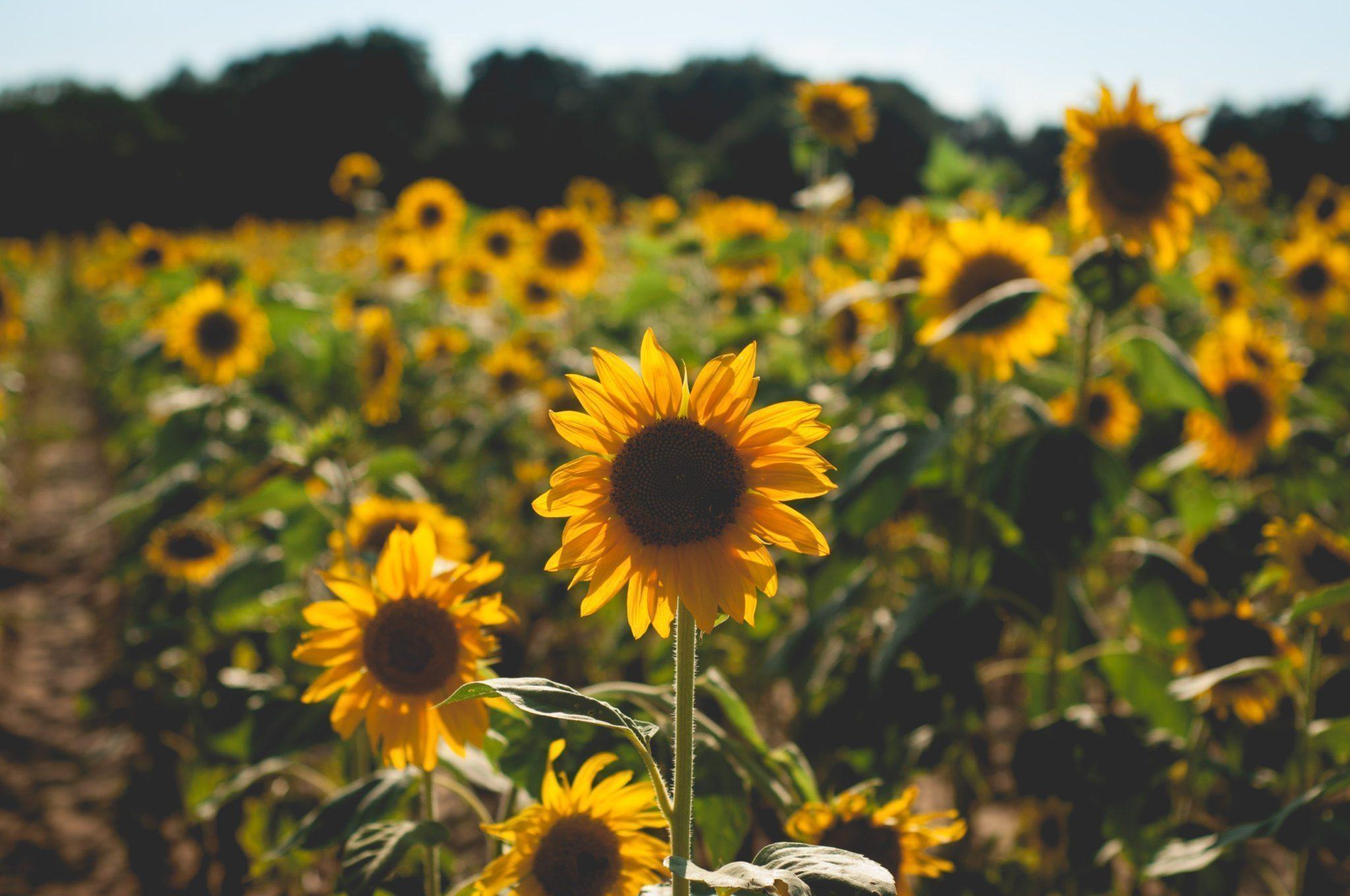 Sunflower Fields Forever | Light by Megan Rae