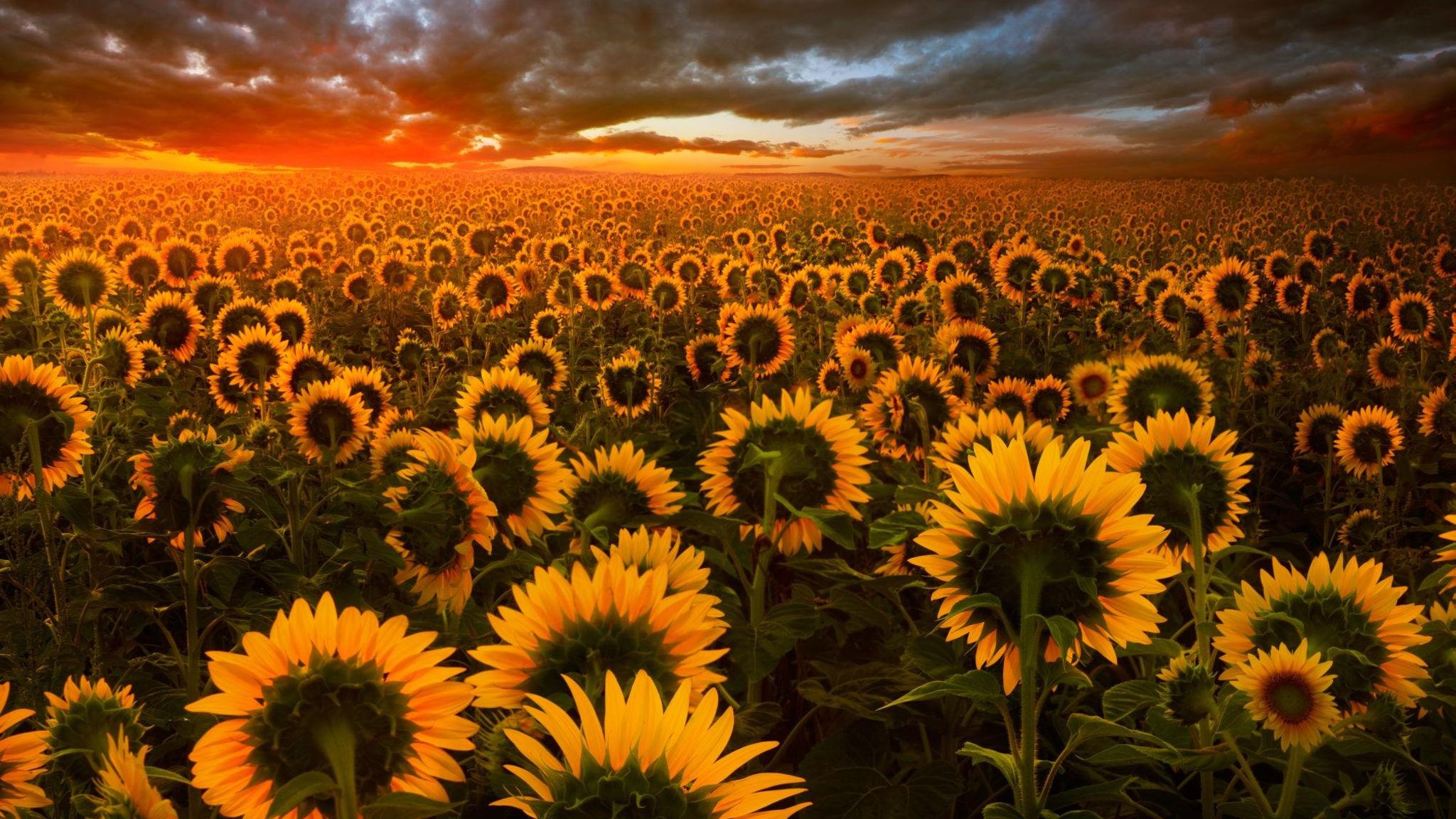 2048x1152 Sunflower Field 2048x1152 Resolution HD 4k Wallpapers ...