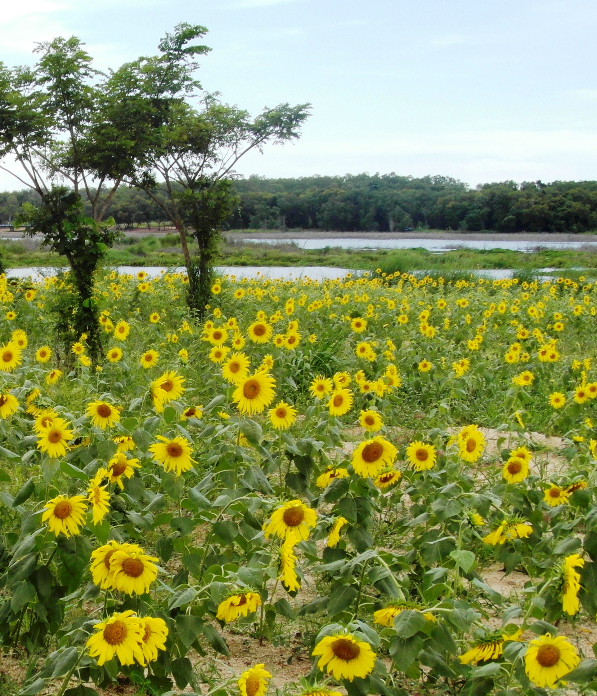 Sunflower Field, Growing, Sky, Sun, Water, HQ Photo