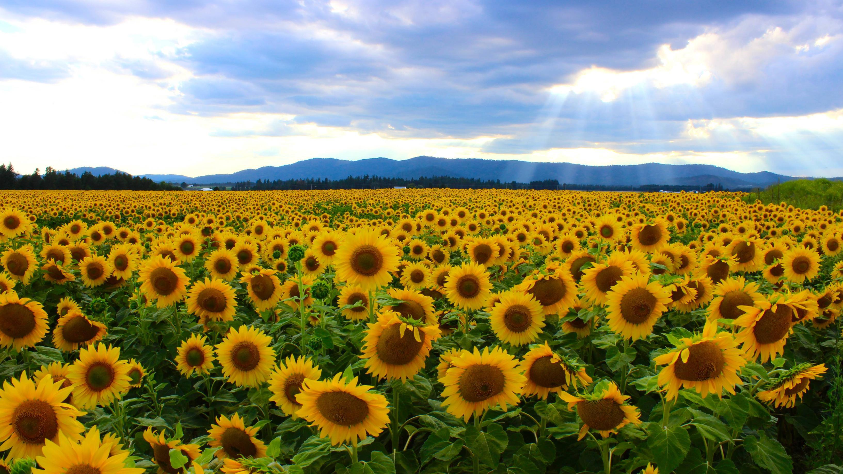 Incredible Image of an Amazing Sunflower Field in The Netherlands ...
