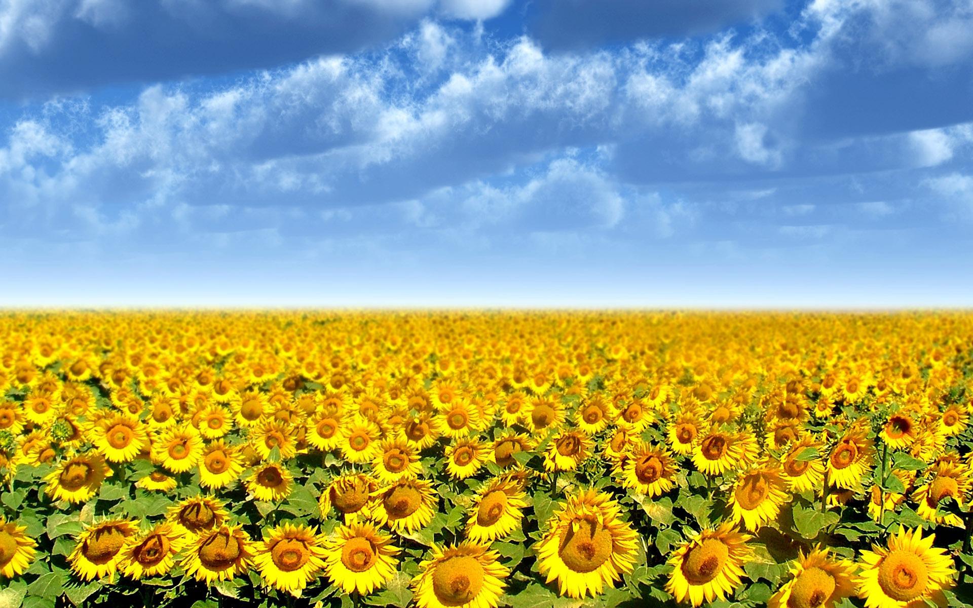 sunflower-field-on-best-garden-with-1920×1200 – Goodland Chamber of ...
