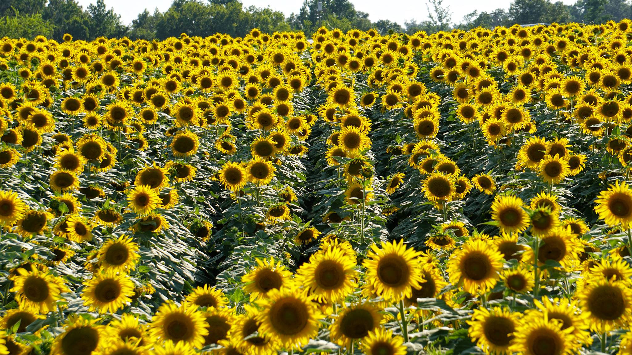 Autauga Sunflower Field Set to Bloom in Early July! | Alabama Aerial ...