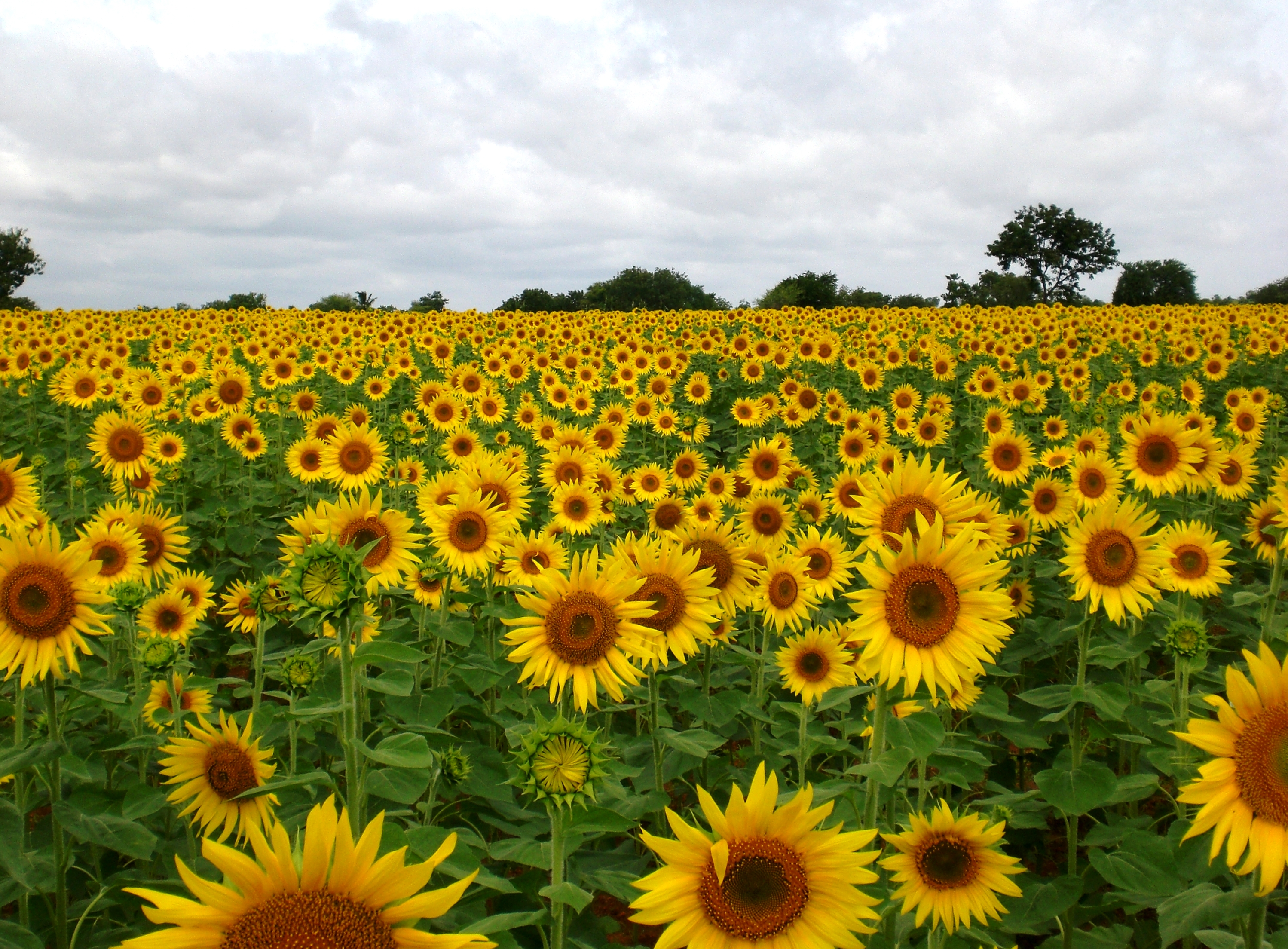 File:Sunflower Field near Raichur, India.jpg - Wikimedia Commons