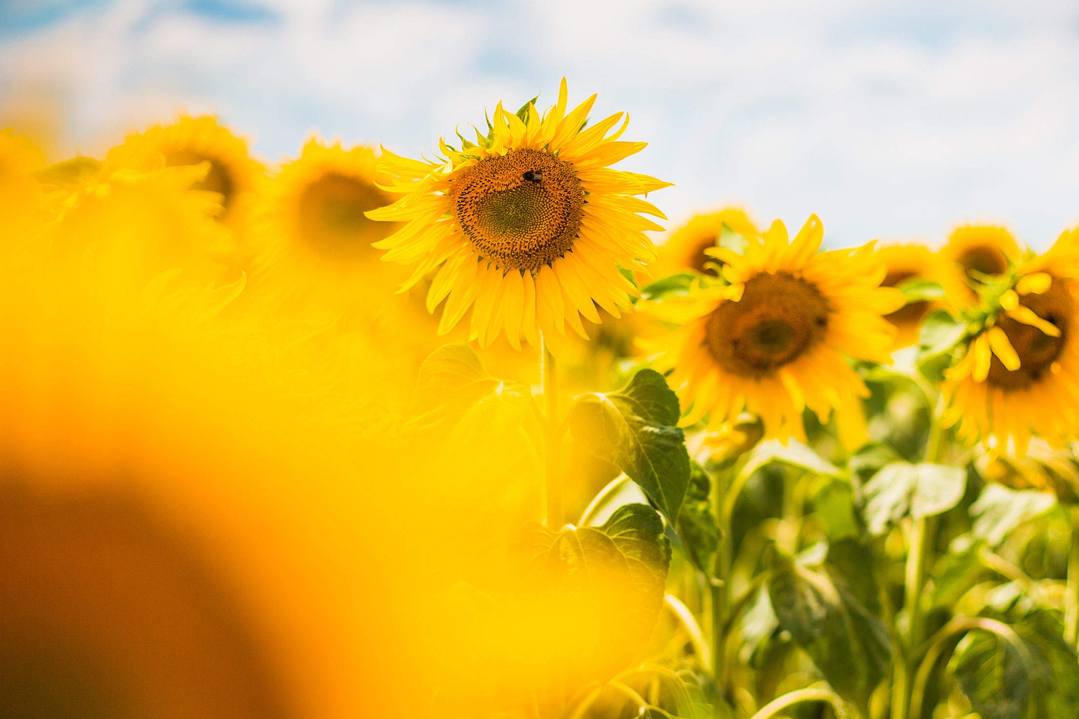 Another Colorful Sunflower Field Free Stock Photo Download | picjumbo