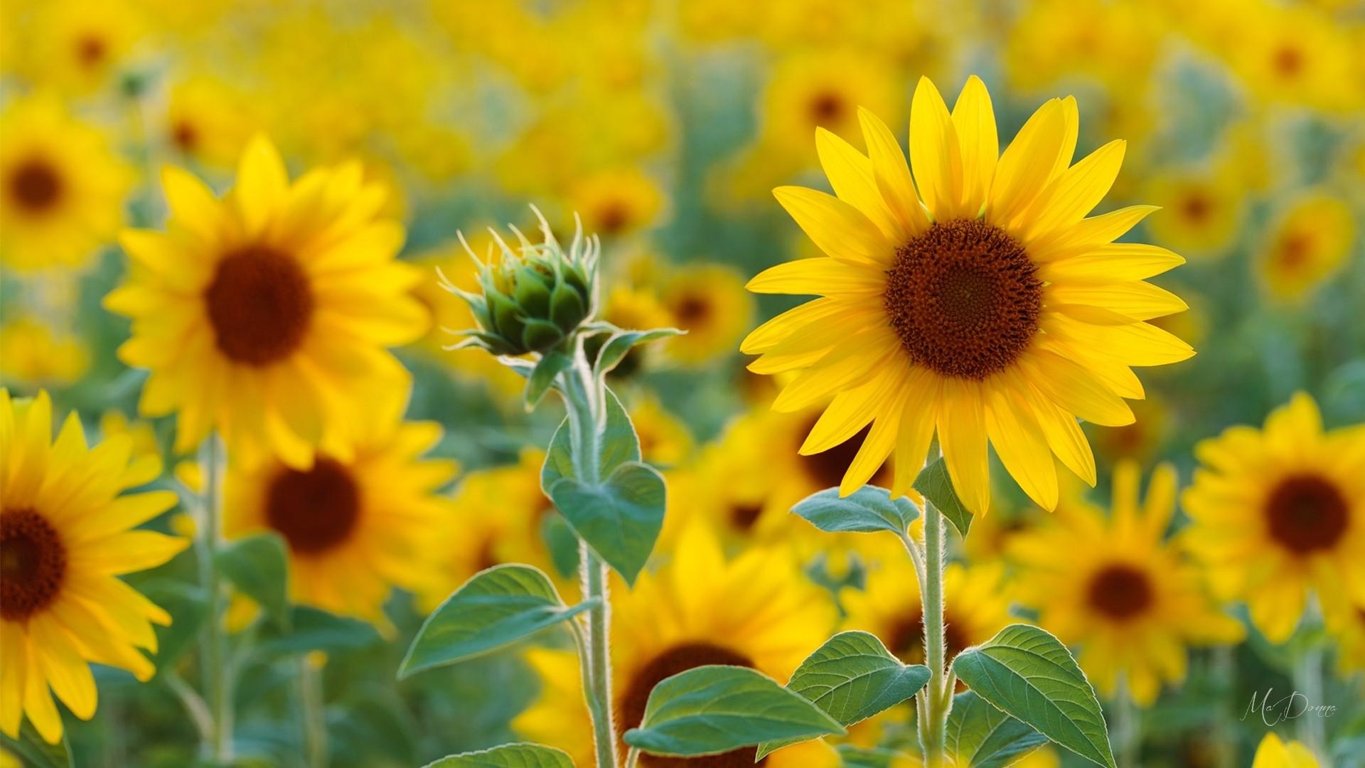 Flowers: Sunflower Field Flowers Autumn Summer Sunflowers Fall Sunny ...