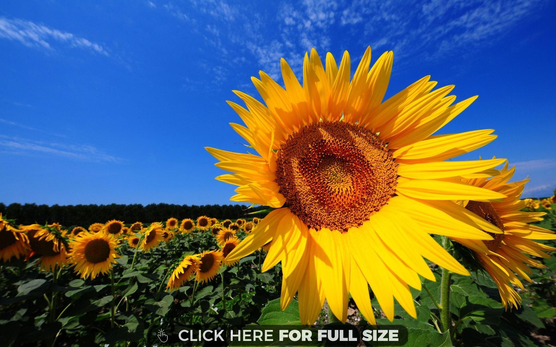 Sunflower Fields Wallpaper Desktop Hq wallpaper