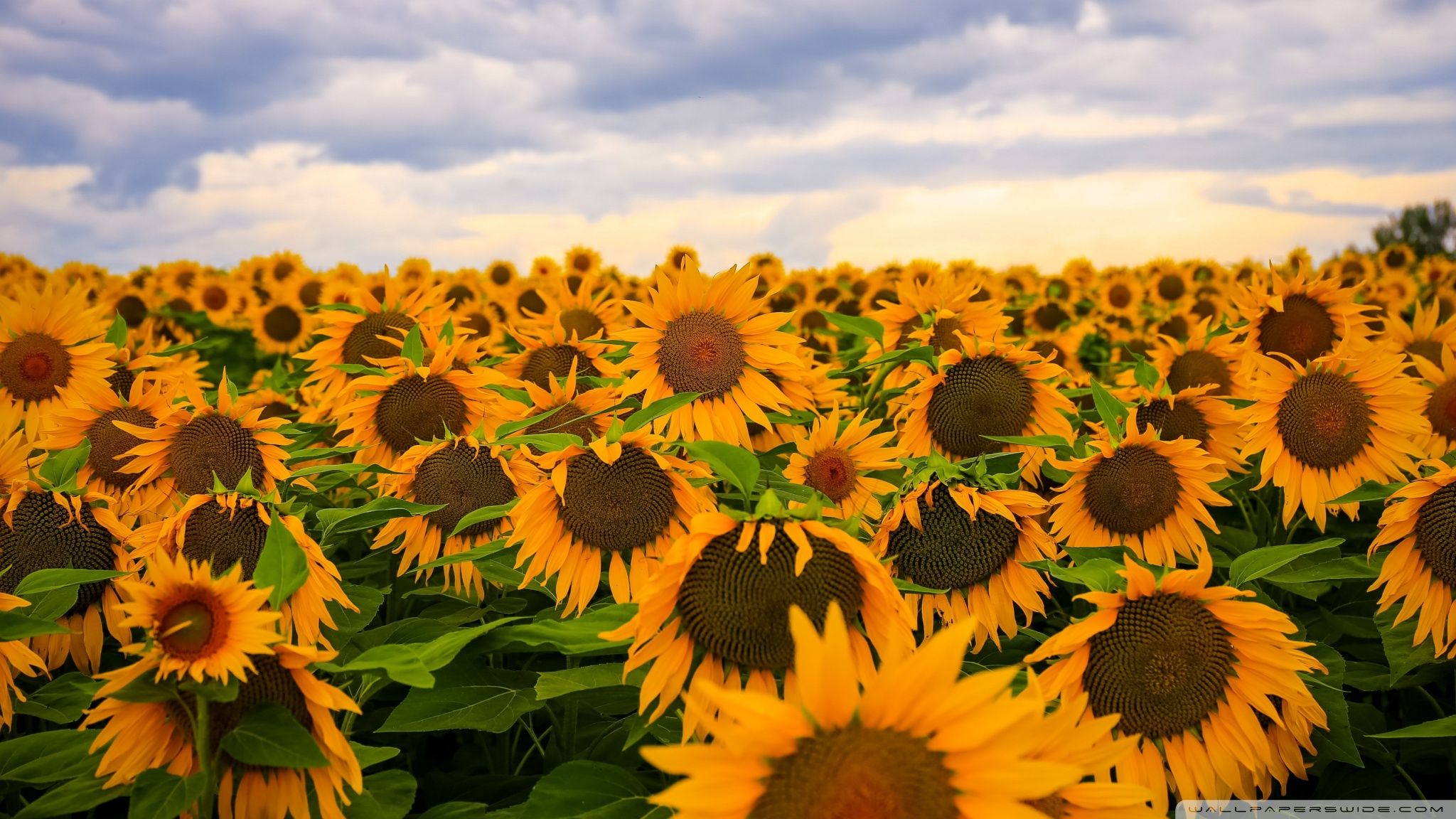 Sunflower Fields Wallpaper Desktop Hq Field Clouds Sky 4K HD For Ultra