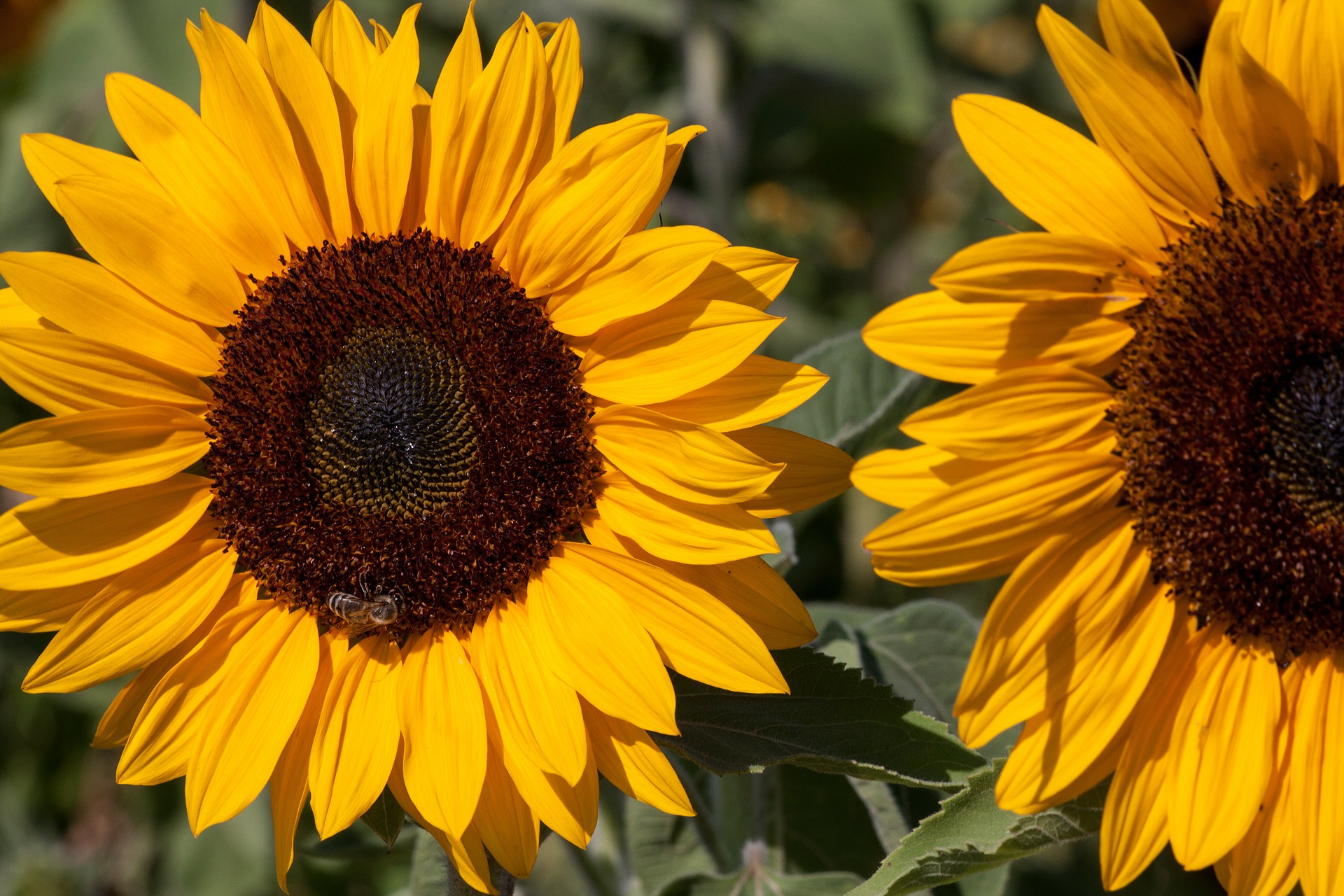 Sunflower Field, Seed, Nature, Sun, Sunflower, HQ Photo