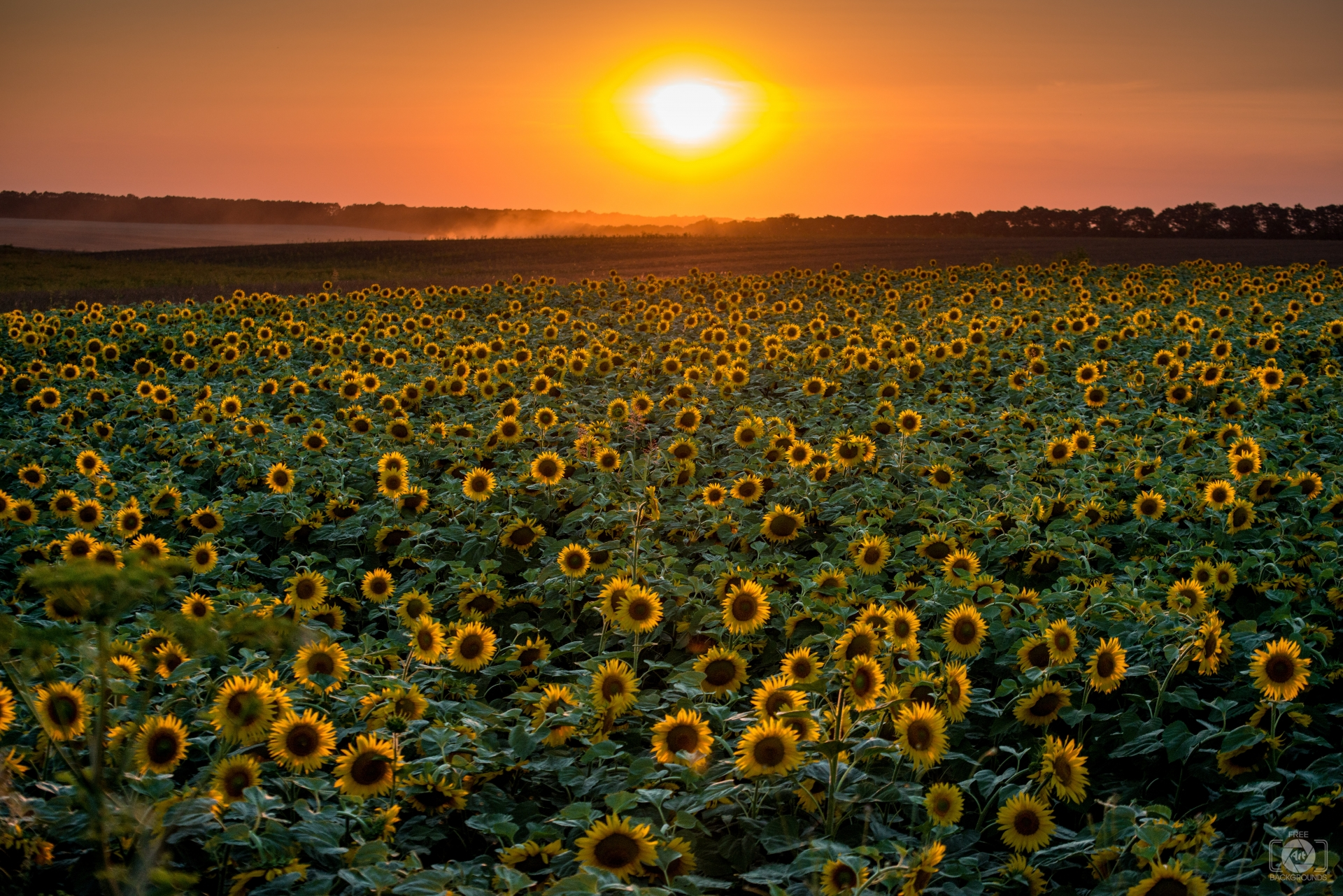 Sunset Over Sunflower Field Background - High-quality Free Backgrounds