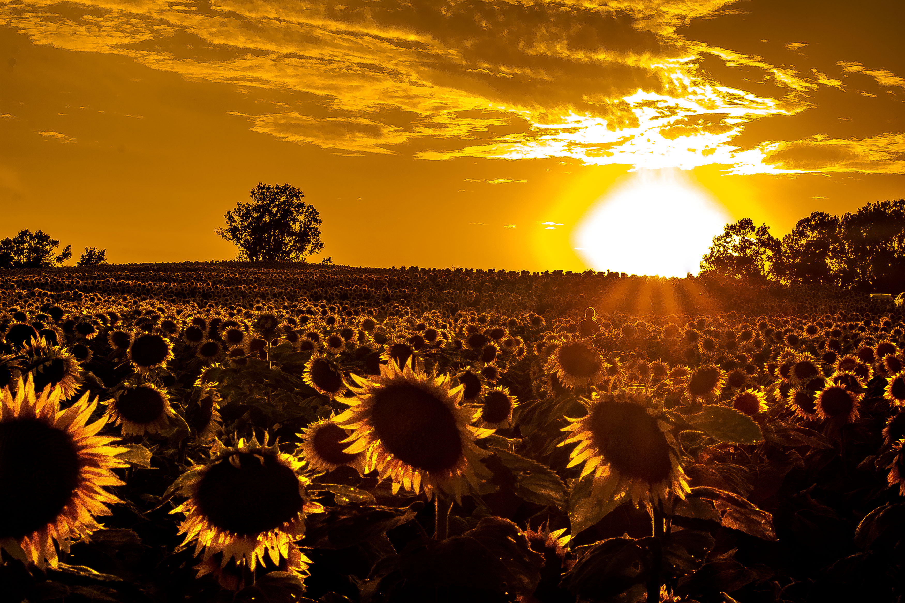 Sunflower Field, a photo from Kansas, Midwest | TrekEarth