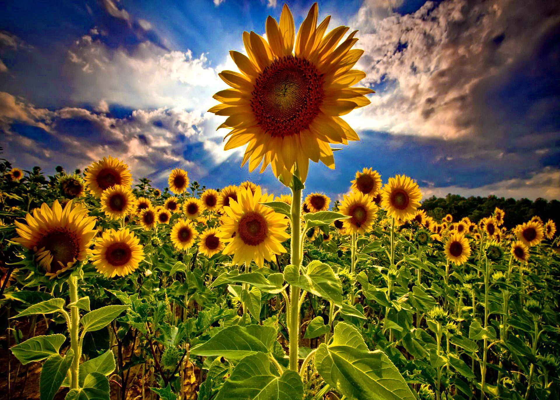 sunflowers pictures | Download Sunflowers Field In The Summer ...