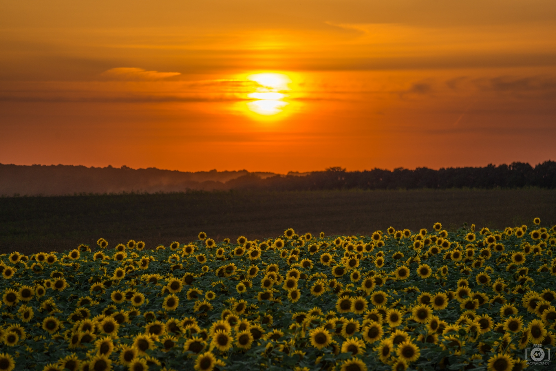 Beautiful Sunset Over Sunflower Field - High-quality Free Backgrounds