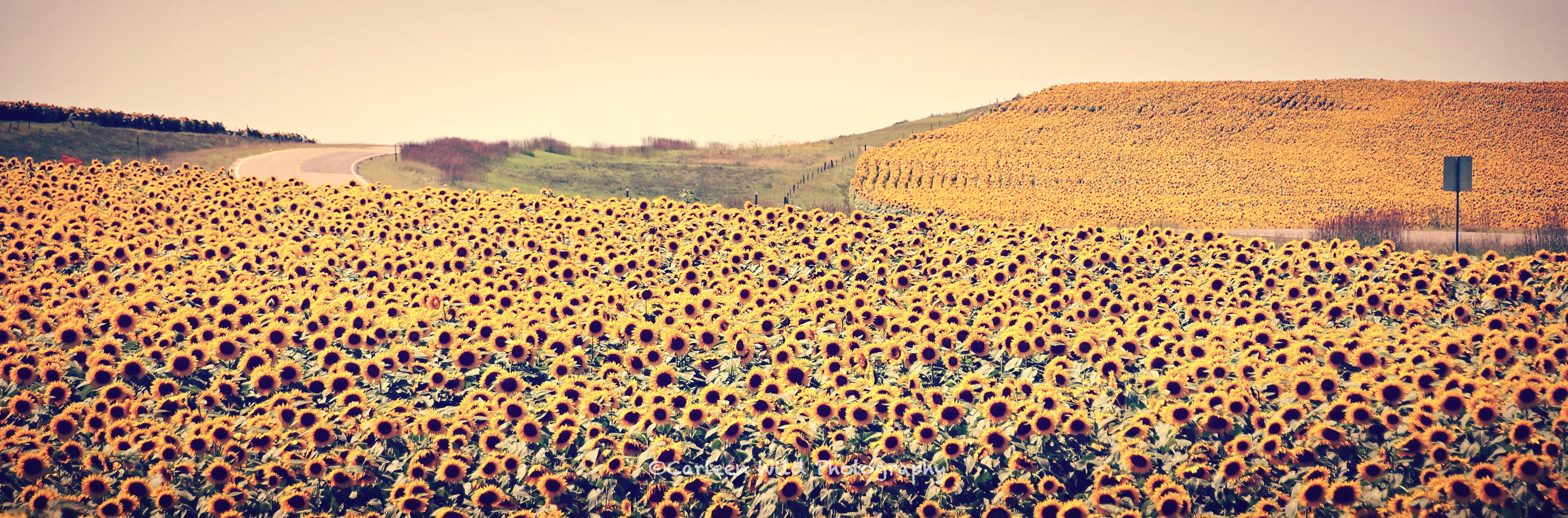 Sunflower Fields | Conversations With a Cowboy