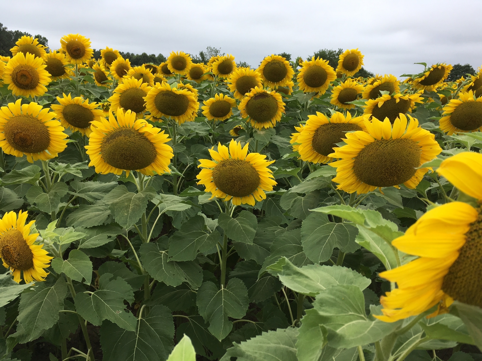 Exploring the Secret Neuse River Sunflower Fields in Raleigh