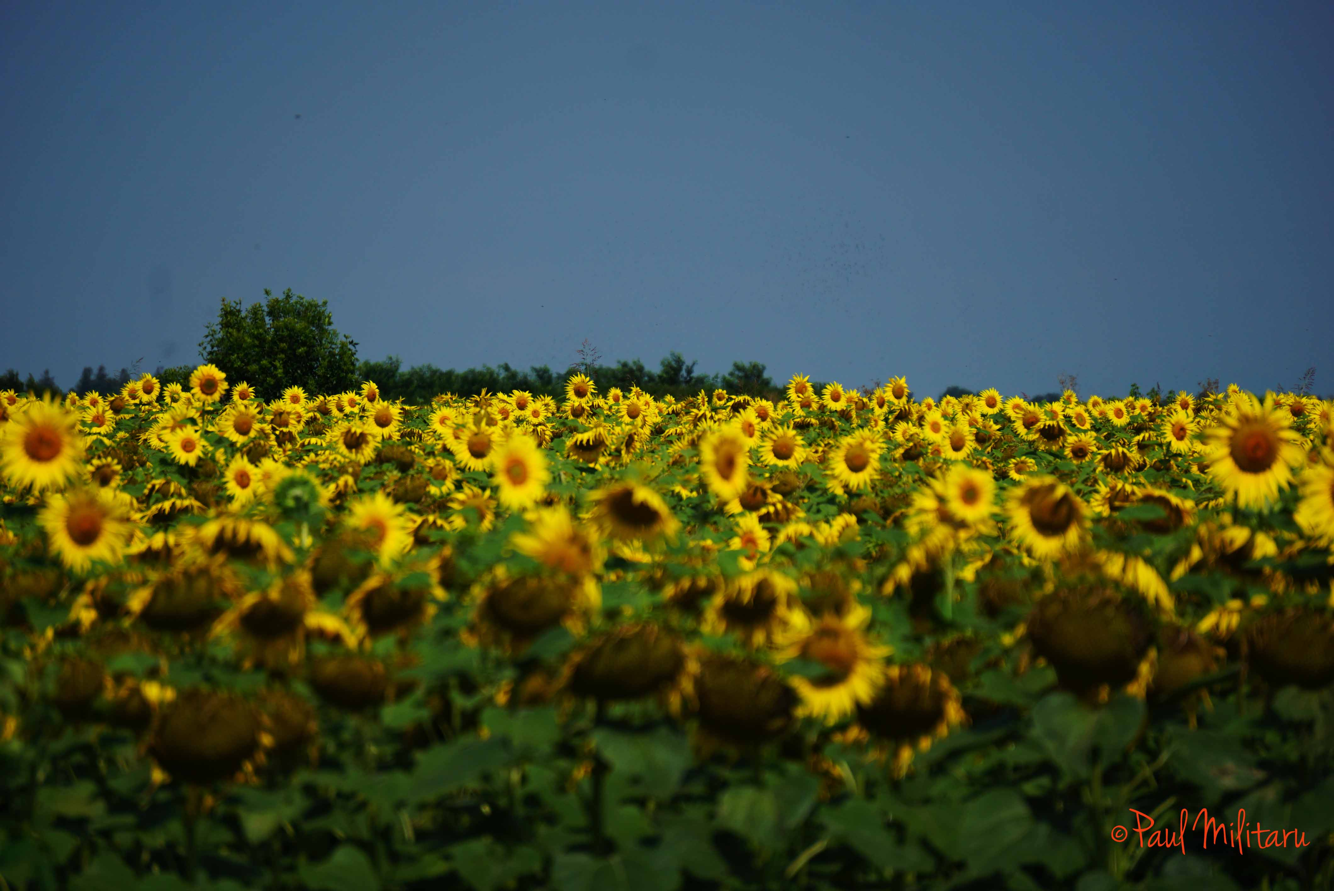 sunflower field | Paul Militaru