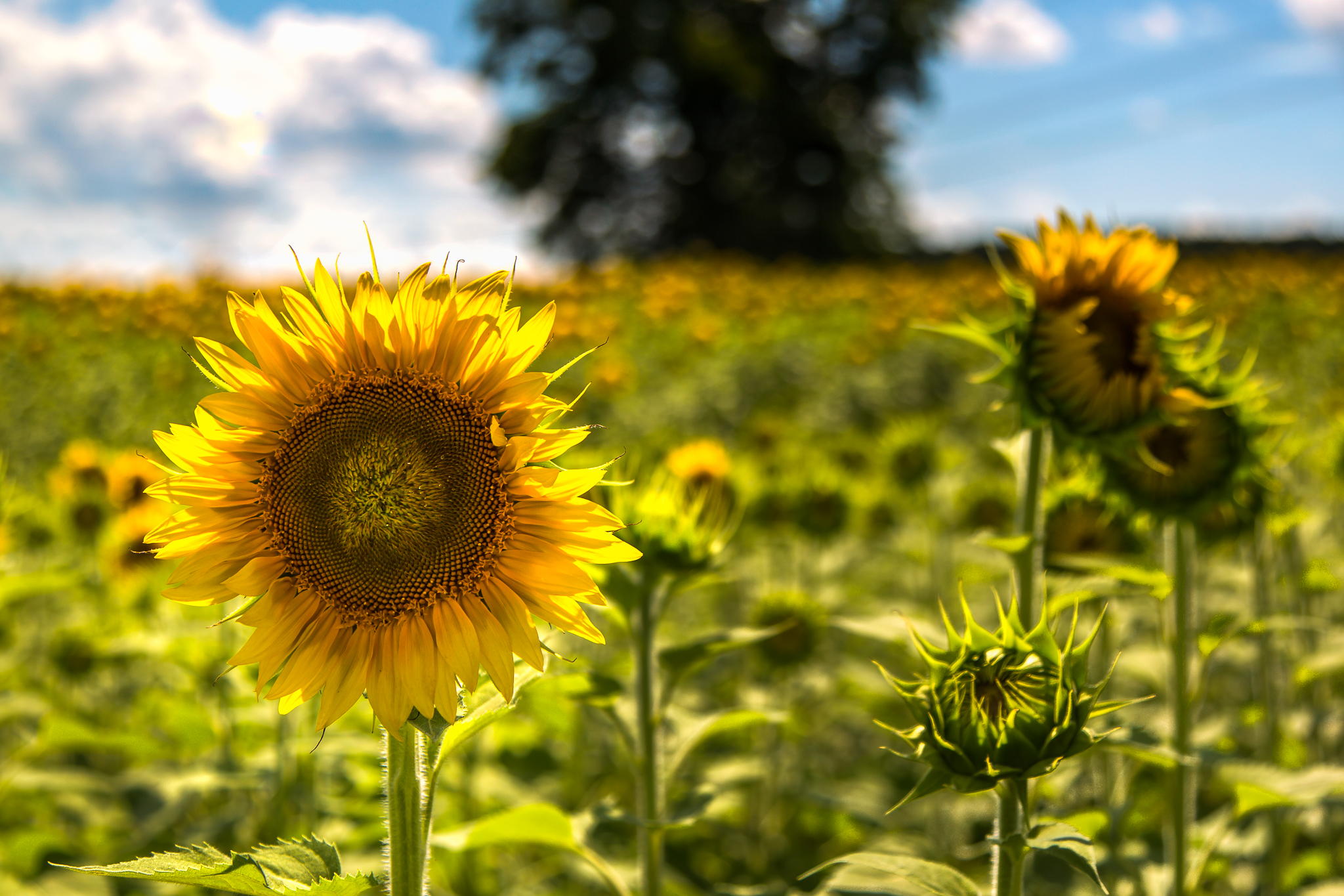 Raleigh Sunflower Fields (Cary: 2014, power lines, fence) - Raleigh ...