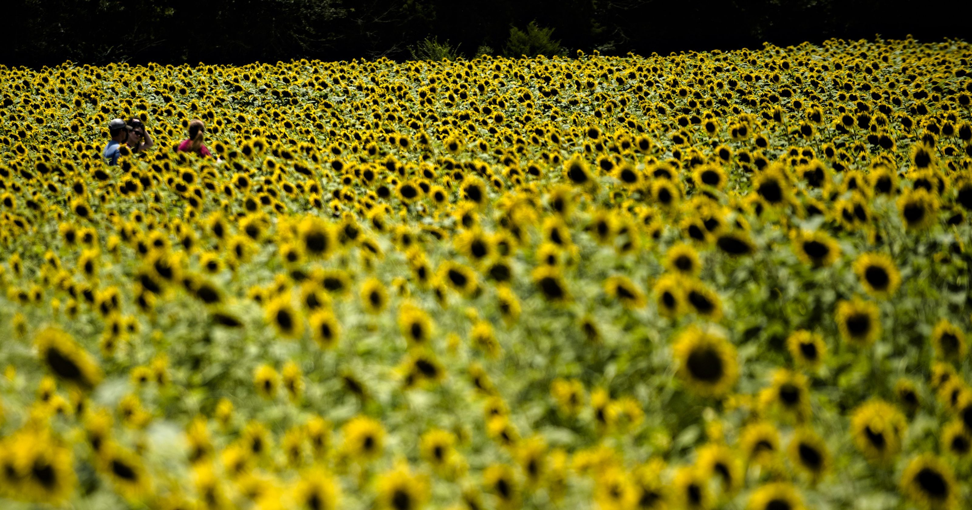 The Sunflower Field in Autauga County