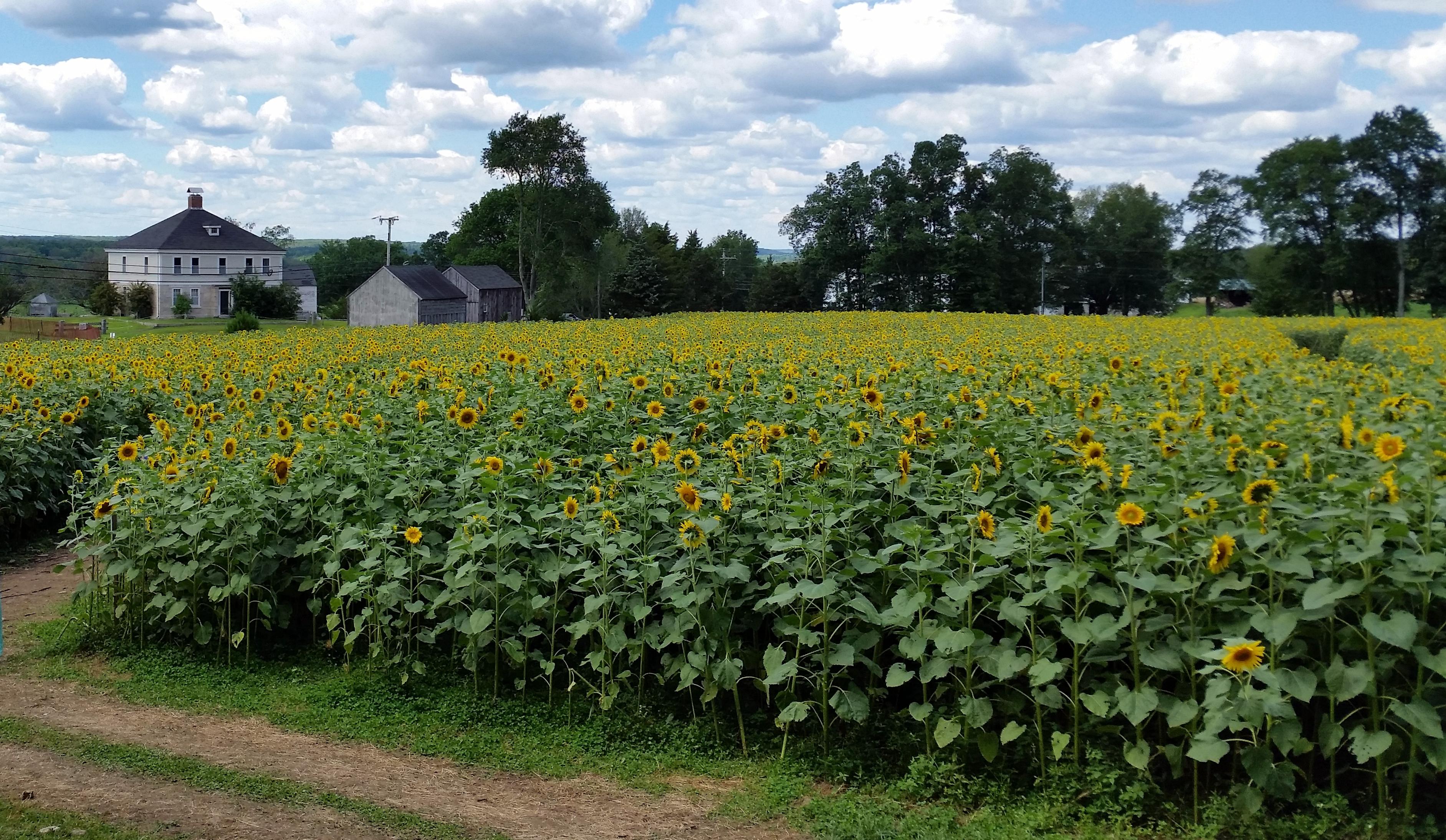 sunflower field with paths - Simsbury Garden Club