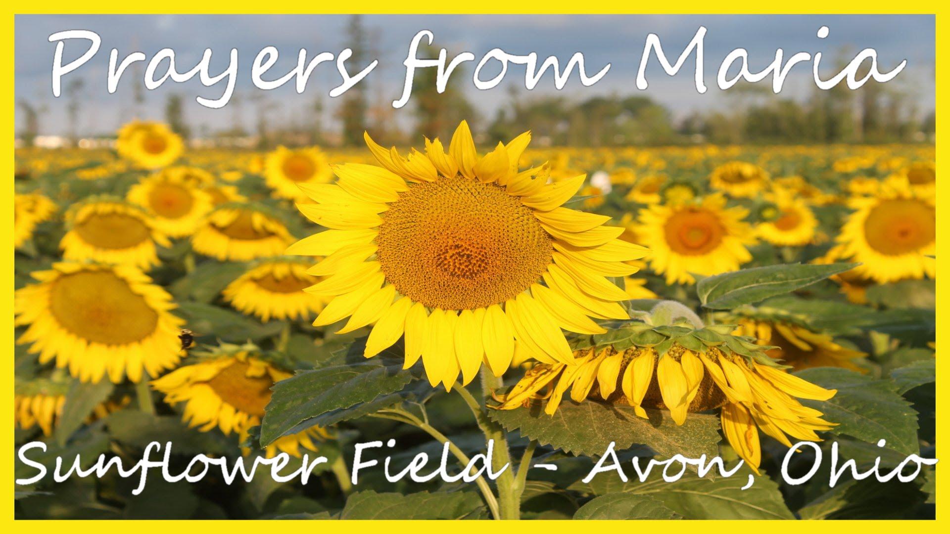 Prayers from Maria - Sunflower Field in Avon, Ohio - Childrens ...