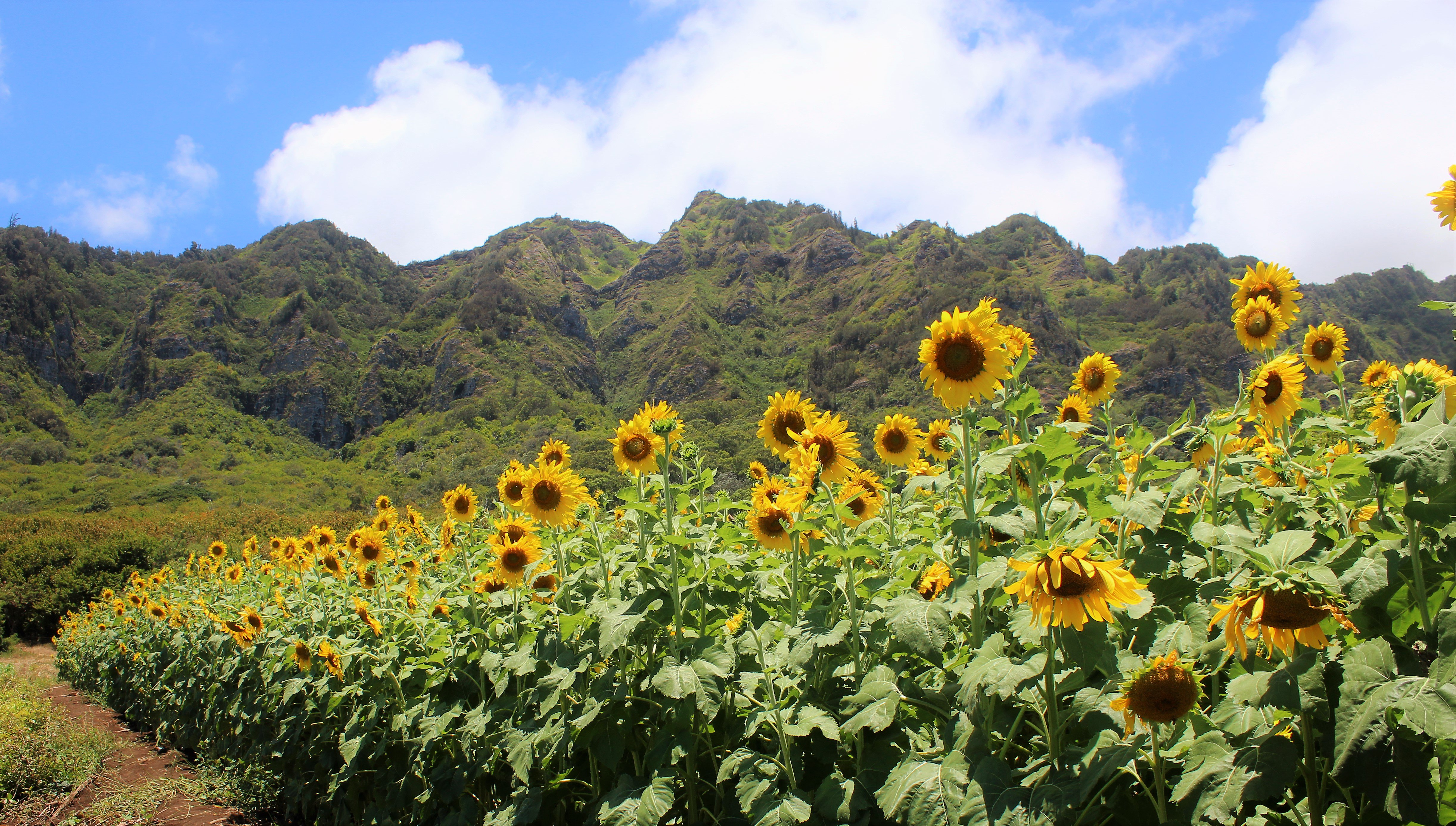 The Magical Sunflower Field Hiding In Hawaii You Must Visit ASAP