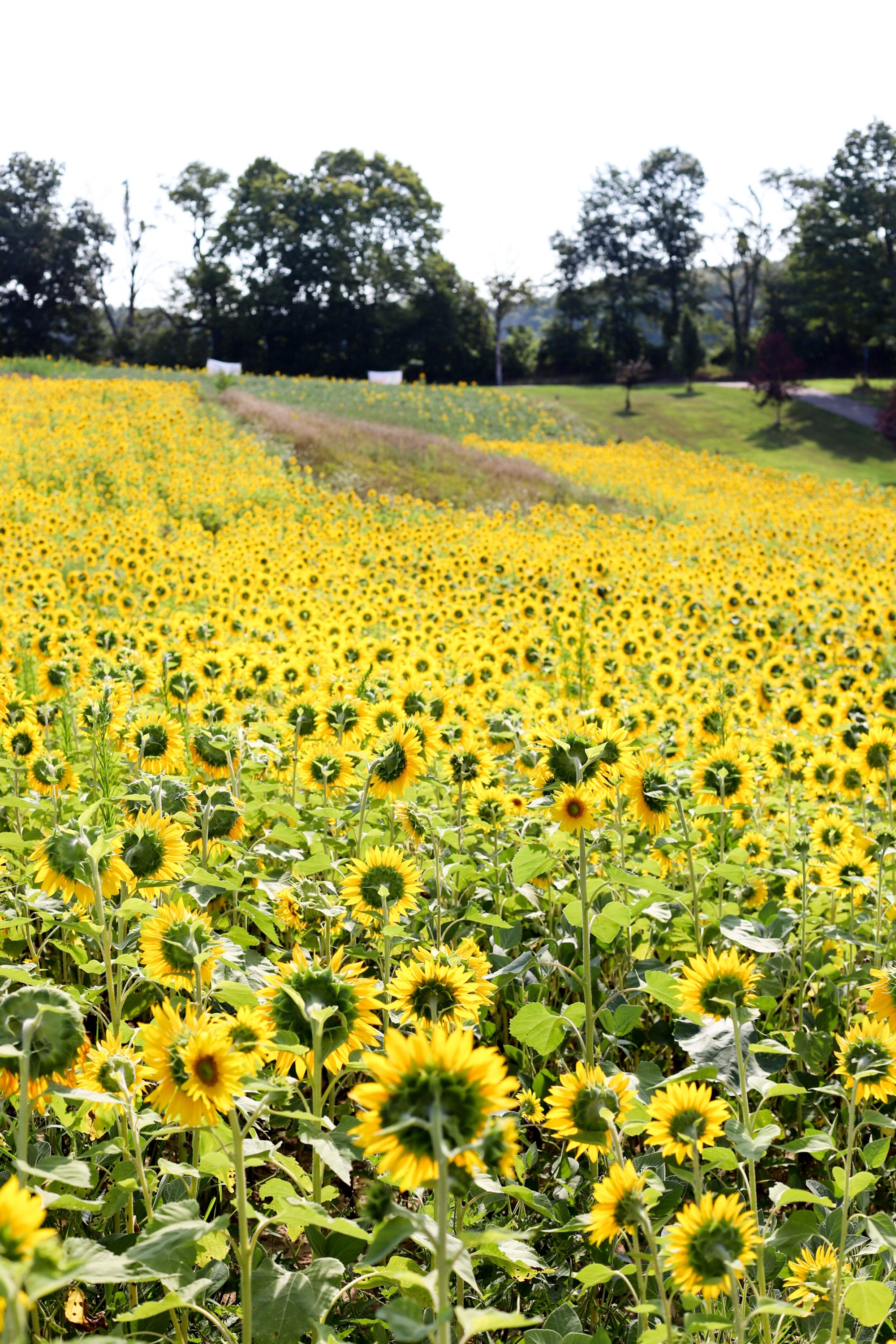 Sunflower Fields Forever - Lush to Blush