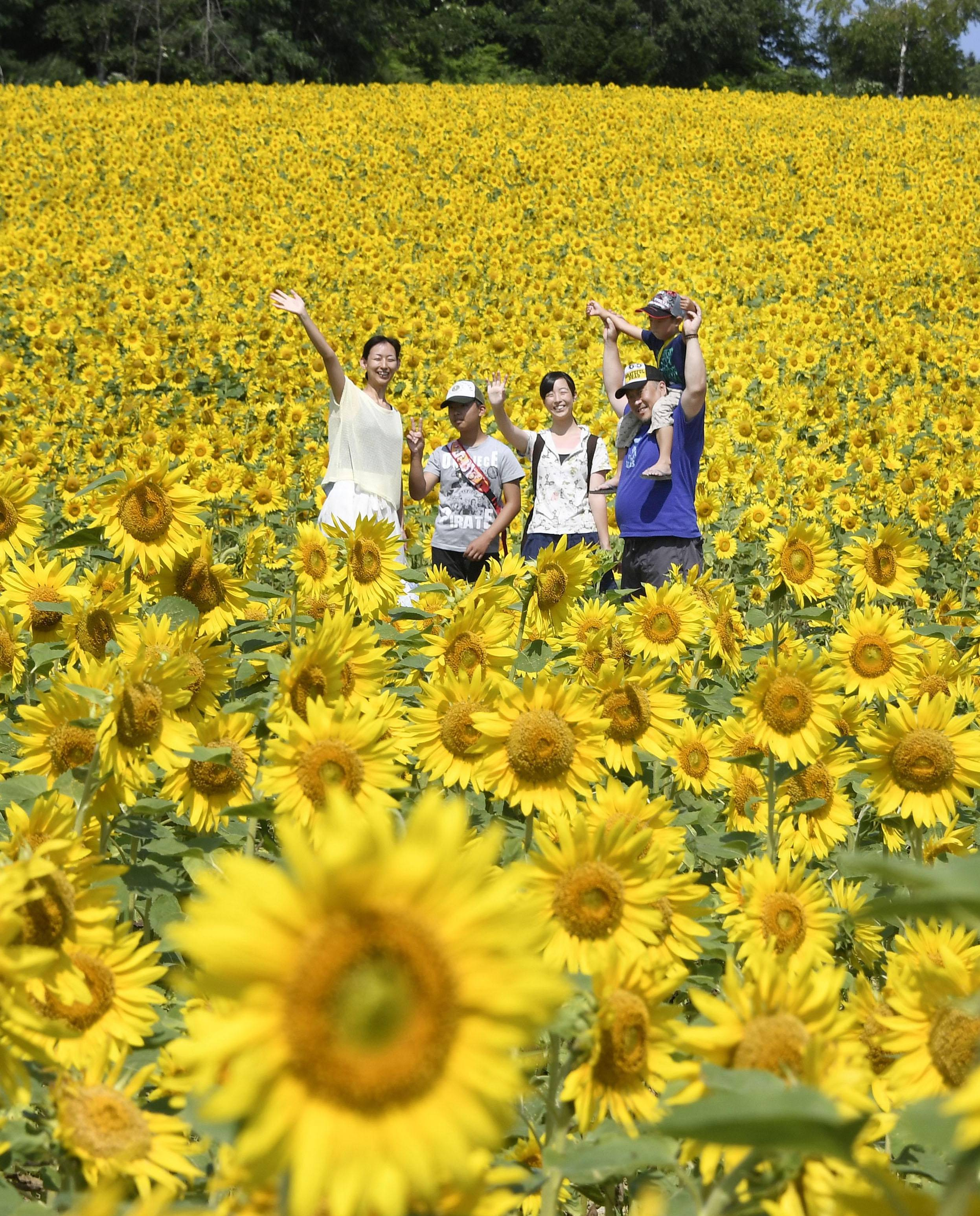 Giant sunflower field in Hokkaido reeling in tourists | The Japan Times